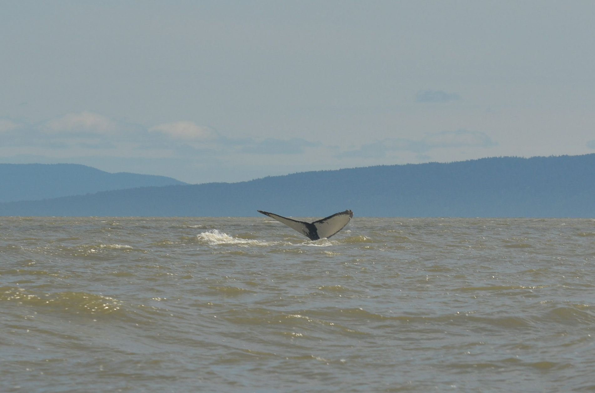 Look closely at the top of the right side of the fluke to see the anvil that has given this whale its nickname. Photo by Kaitlyn Watson.