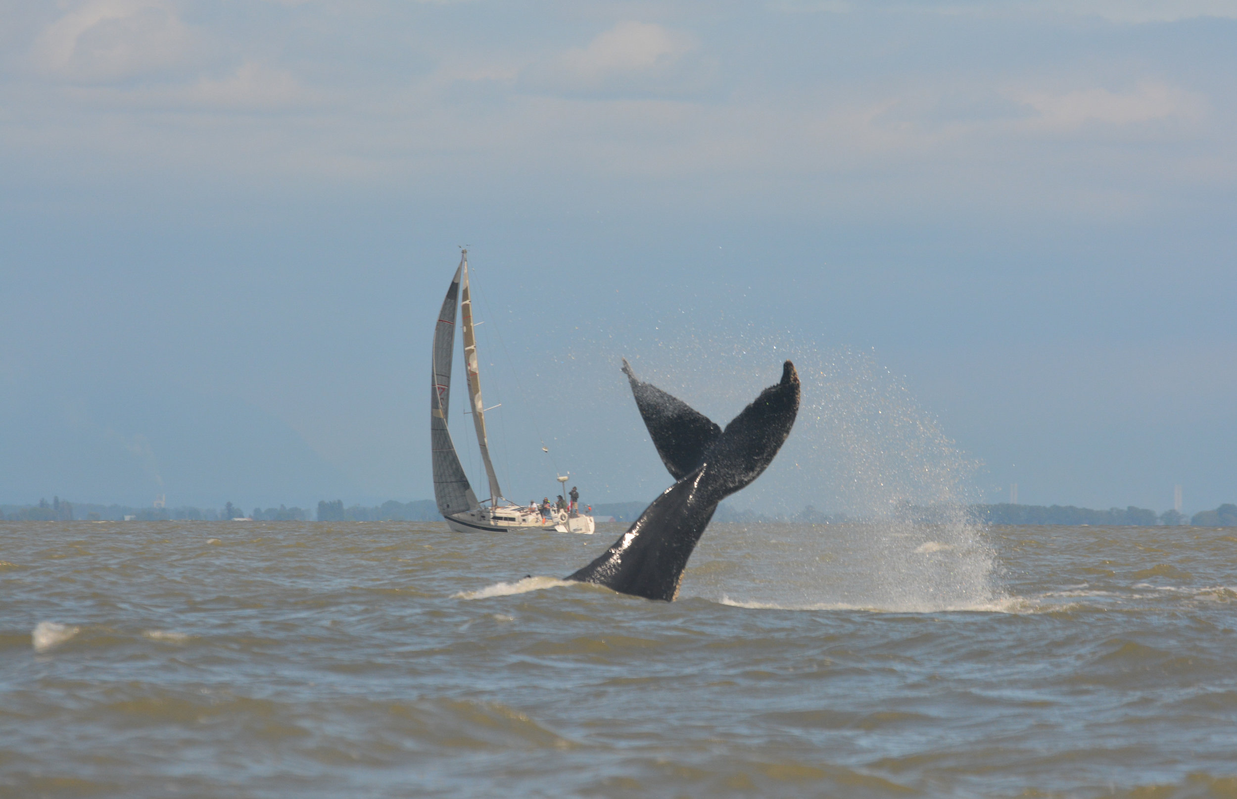 This lucky sailor is not only enjoying a windy day in the Strait! Photo by Kaitlyn Watson.