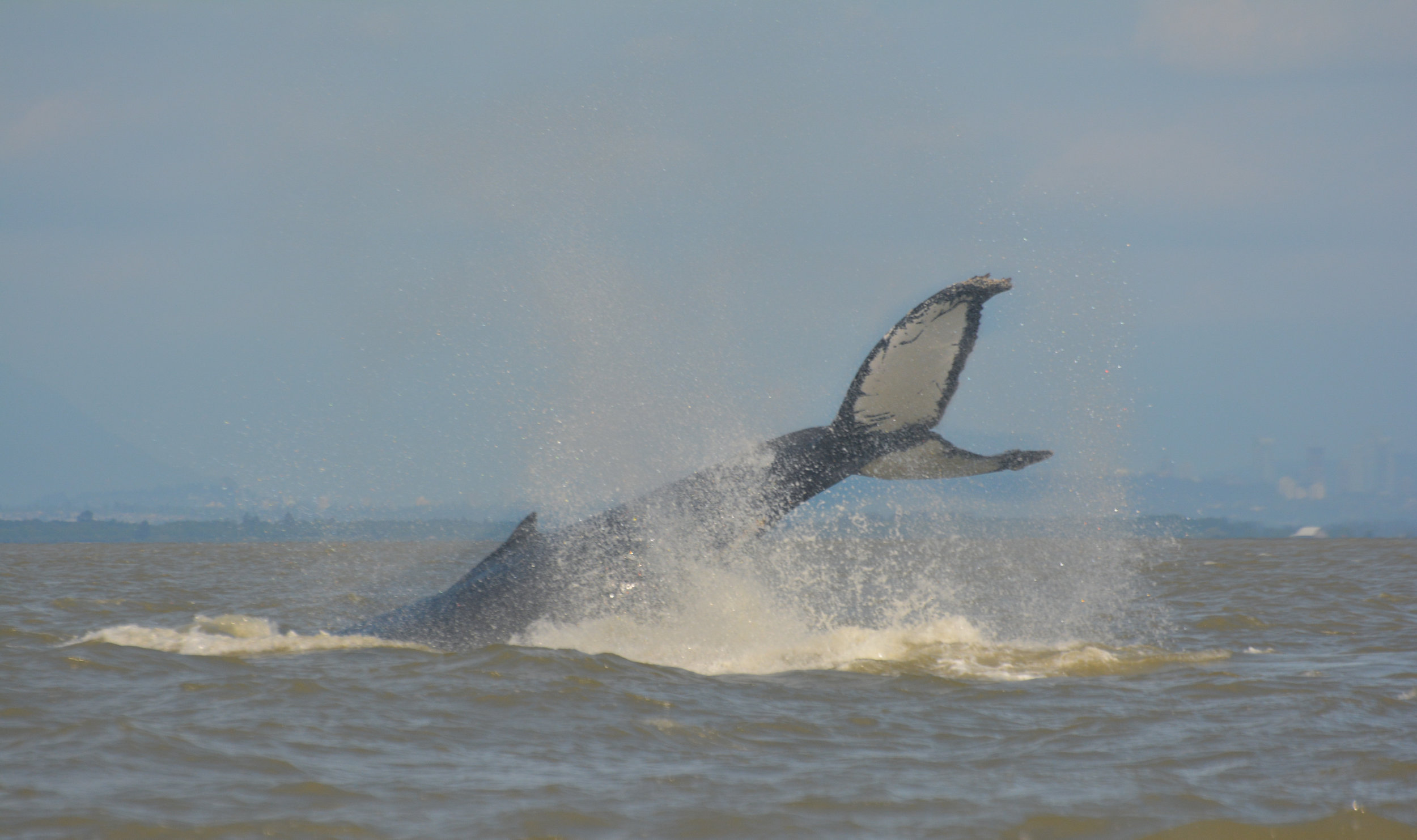 Having over 80% white on its fluke makes Anvil a BCZ whale. Photo by Kaitlyn Watson.