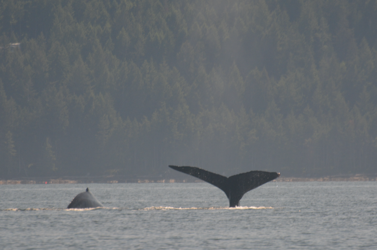 """BCX1193 """"Trinity/Zig-Zag"""" shows a fluke while taking a deep dive, with """"Split Fin"""" on the left. Photo by Alanna Vivanni"""
