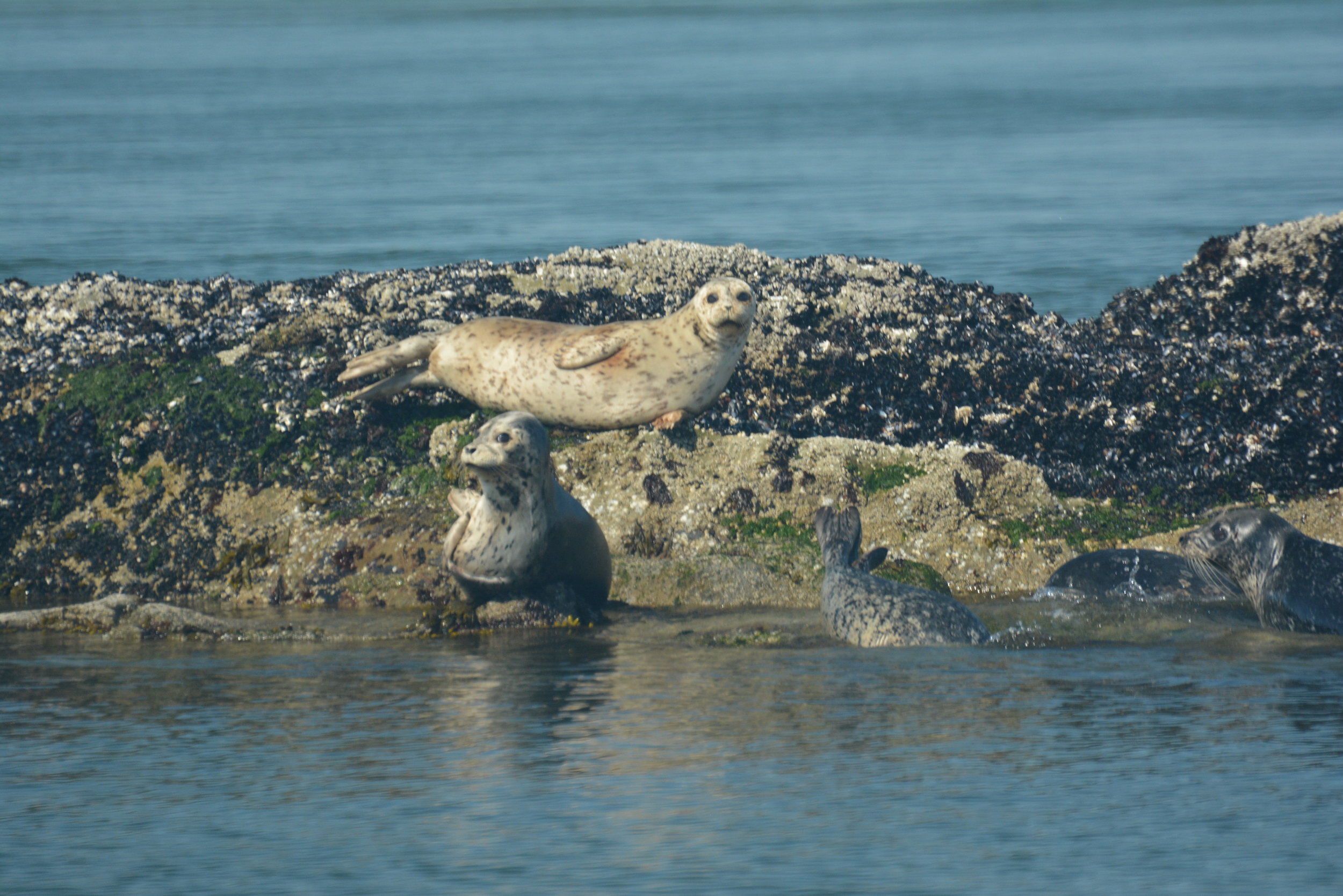 We watched a few harbour seals, and they watched us back! Photo by Alanna Vivanni