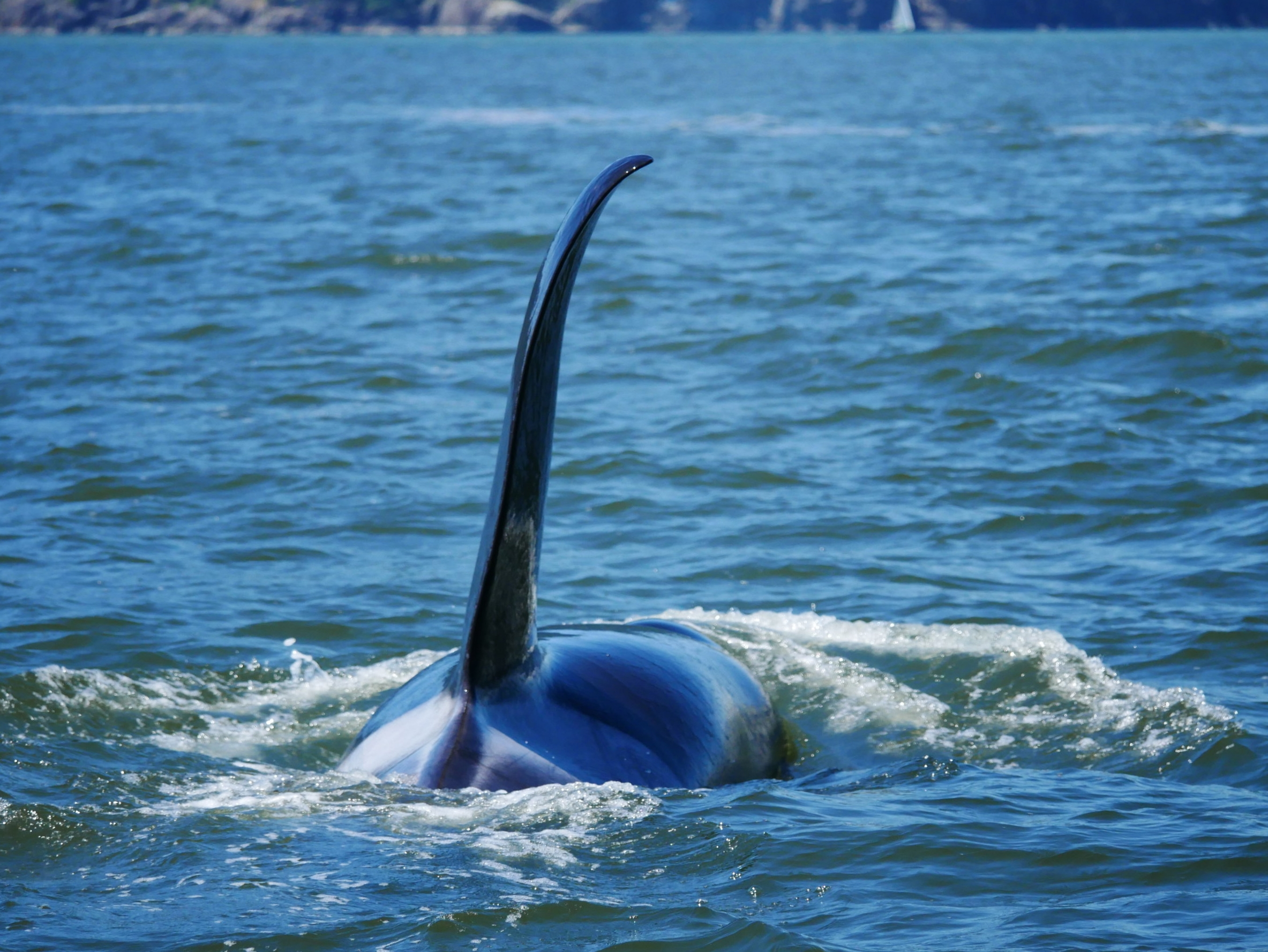 Look at the size of that dorsal fin! Photo by Val Watson.