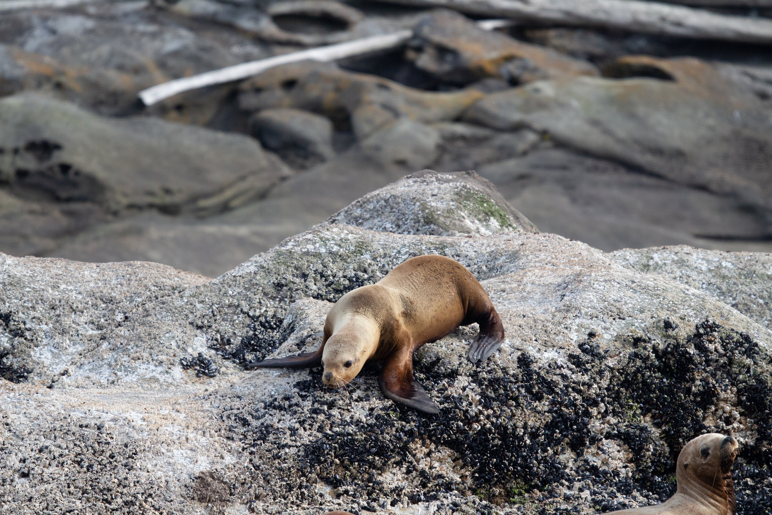 A steller sea lion clambering over a barnacle covered haul out. Photo by Natalie Reichenbacher