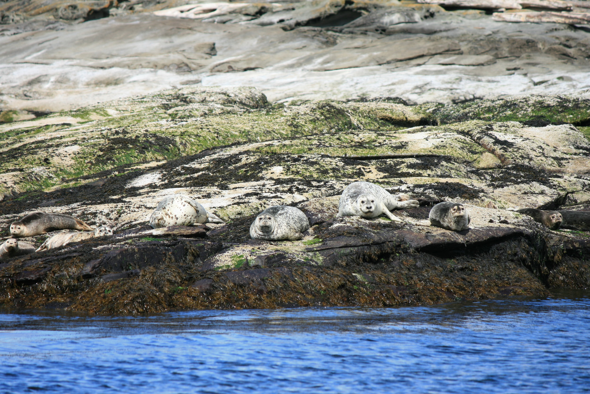 Nine harbour seals hauled out on Entrance Island. They use their colouration to blend into their environment. Photo by James Clyburn.