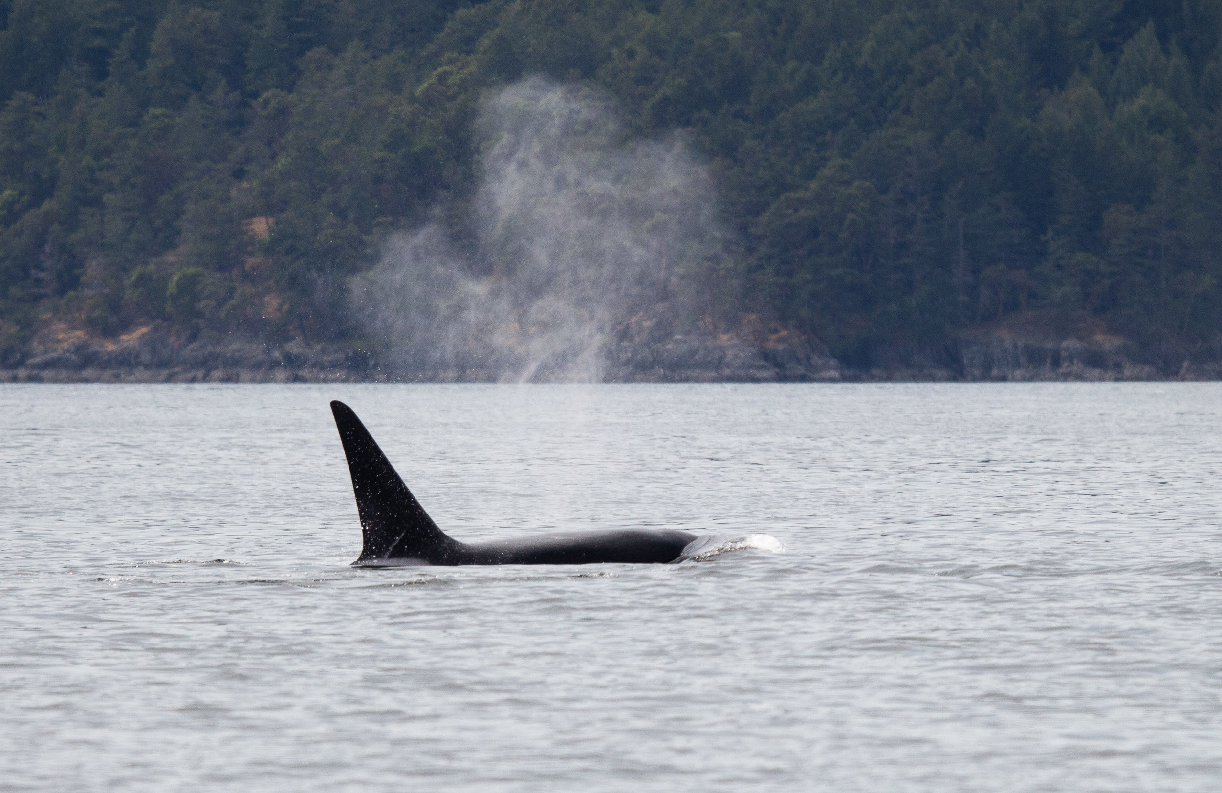 """T77B """"The Church"""" is by far the largest in the pod but is roughly 20 years younger than his mom. Photo by Natalie Reichenbacher"""