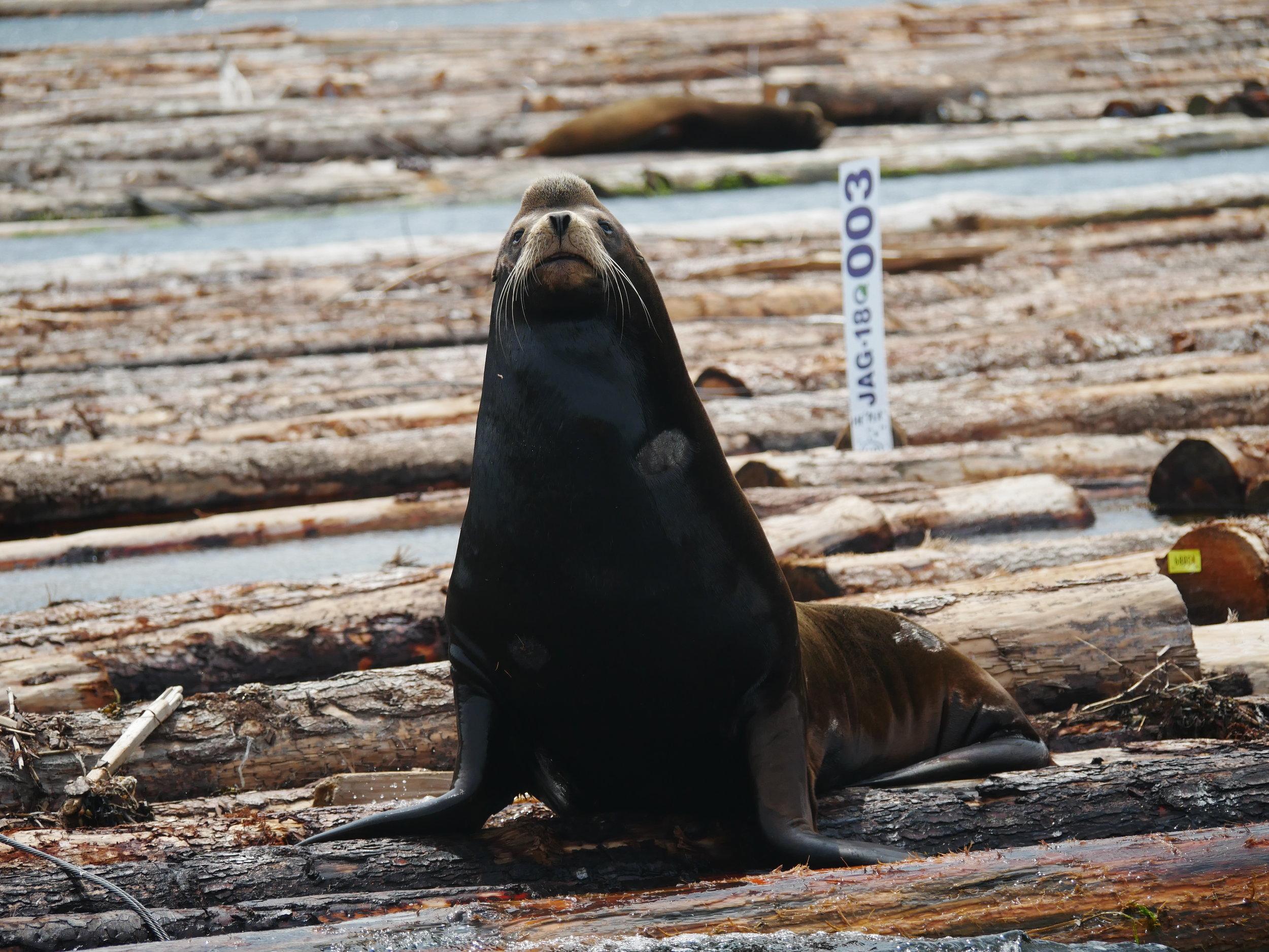 California Sea Lion. Photo by Alanna Vivani