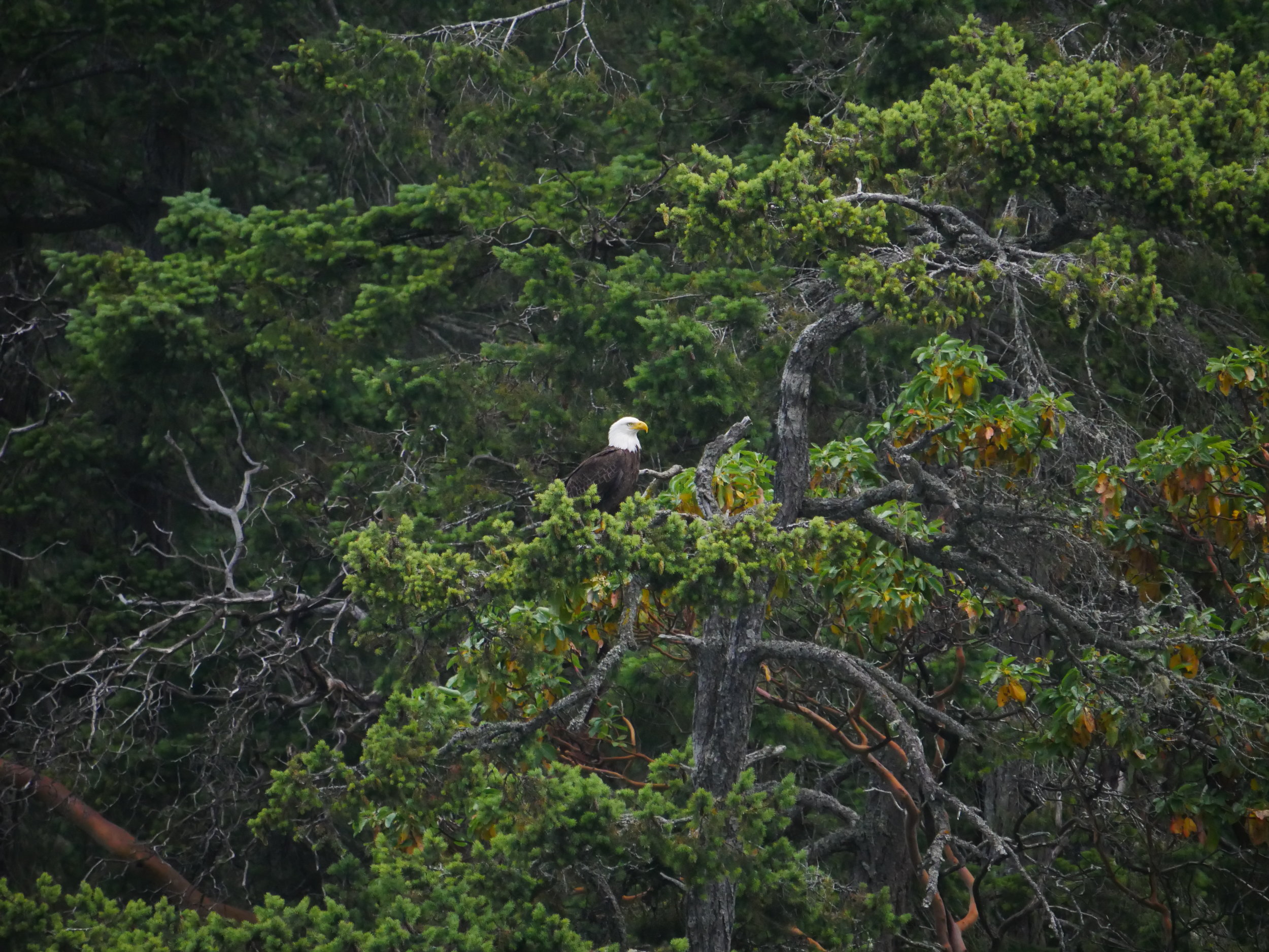 A majestic bald eagle perched in some luscious west coast greenery. Photo by Alanna Vivani.
