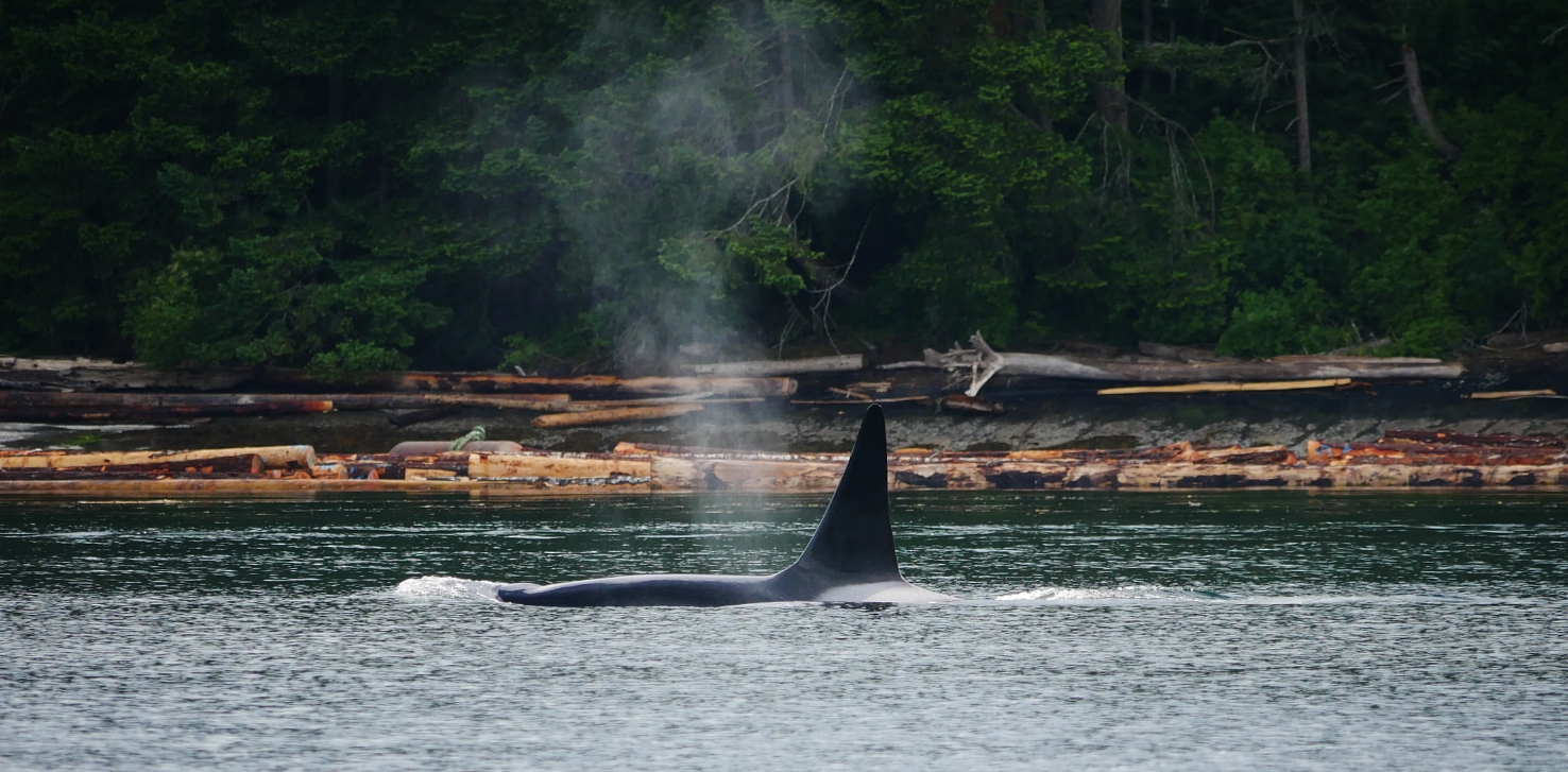 "T77B ""The Church"" investigating log booms just outside of Nanaimo harbour. Photo by Alanna Vivani."