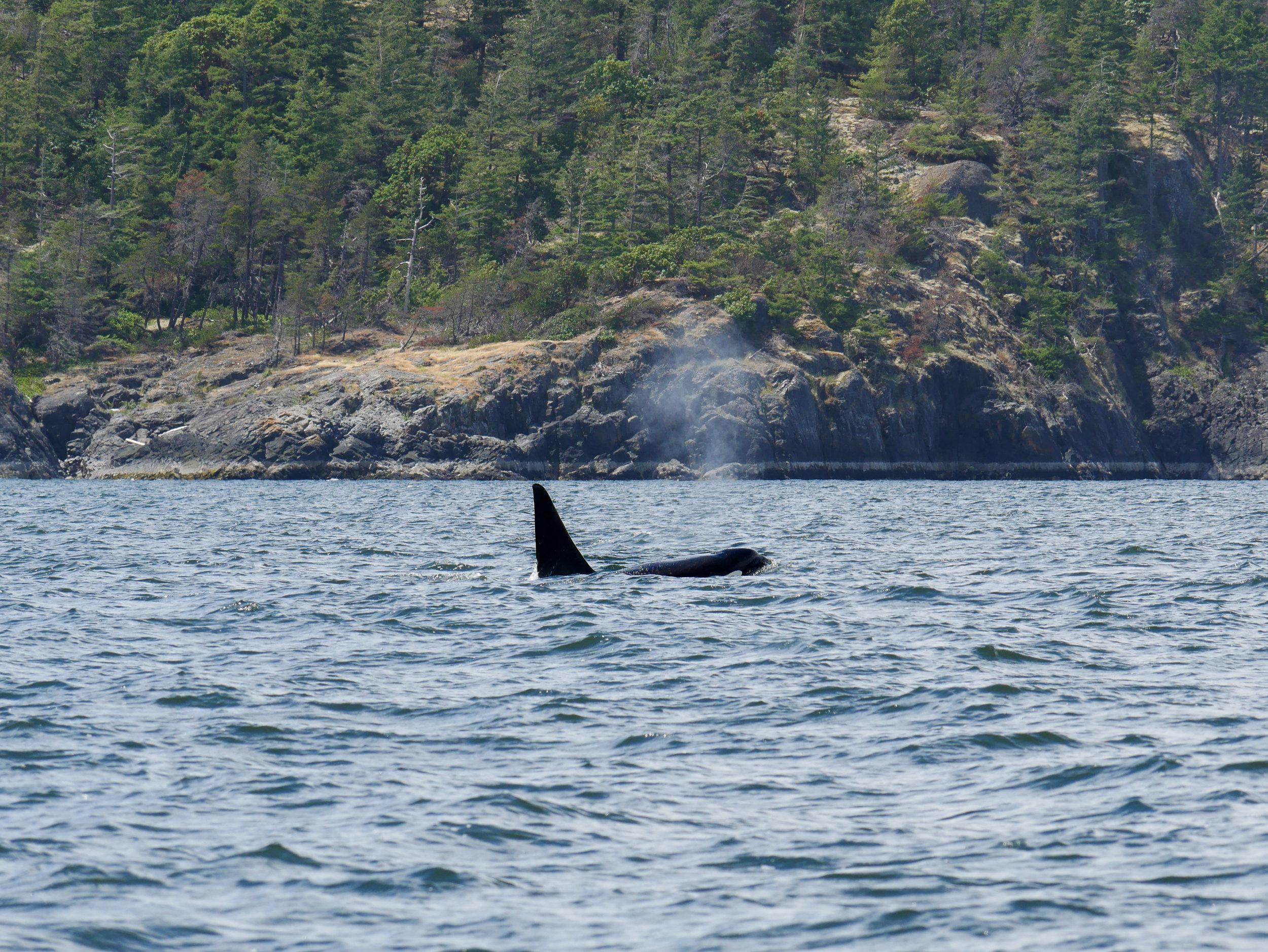 Transient Killer Whale. Photo taken by Val Watson.