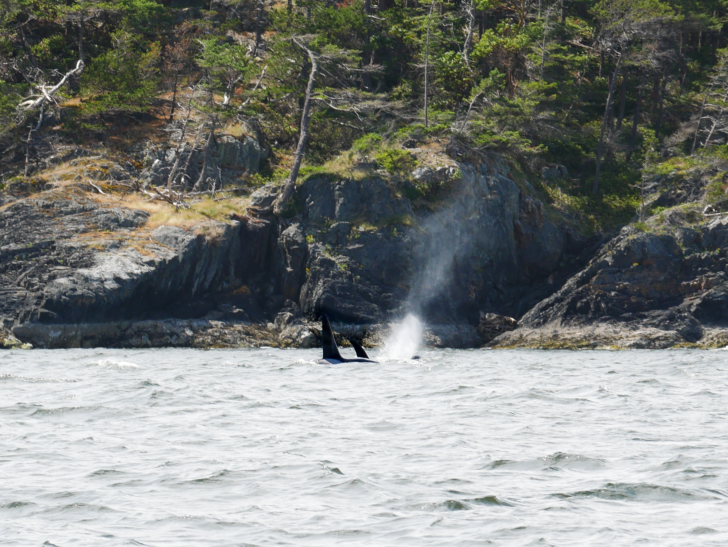 2 Transient Orcas surfacing for a breath. Photo taken by Val Watson.