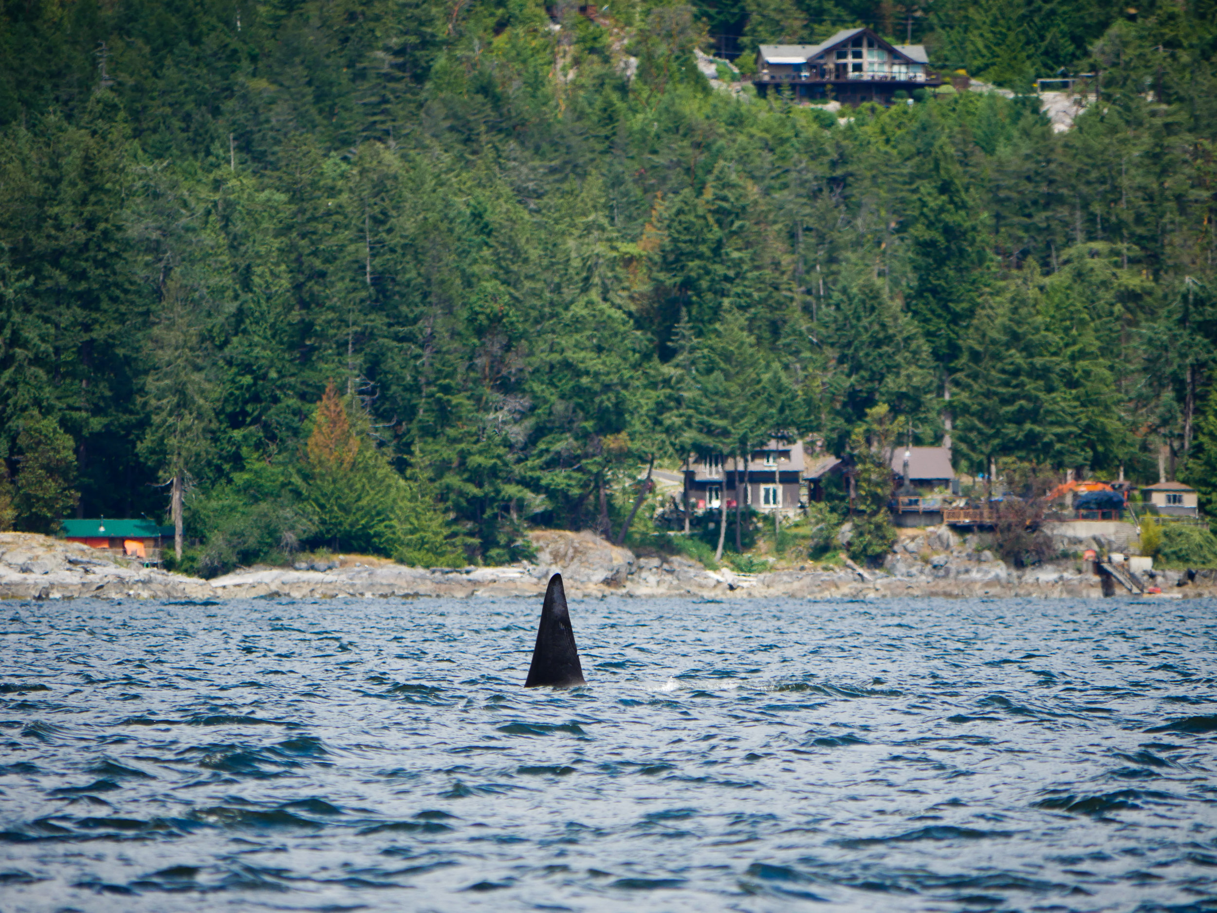 Transient Orca dorsal fin! Photo by Val Watson.