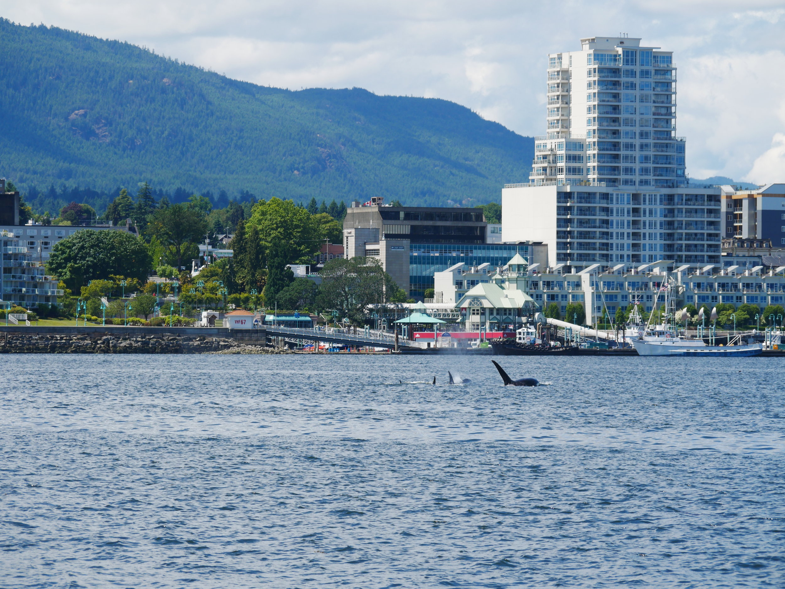 Killer whales swimming in front of Nanaimo harbour! Photo by Mike Campbell