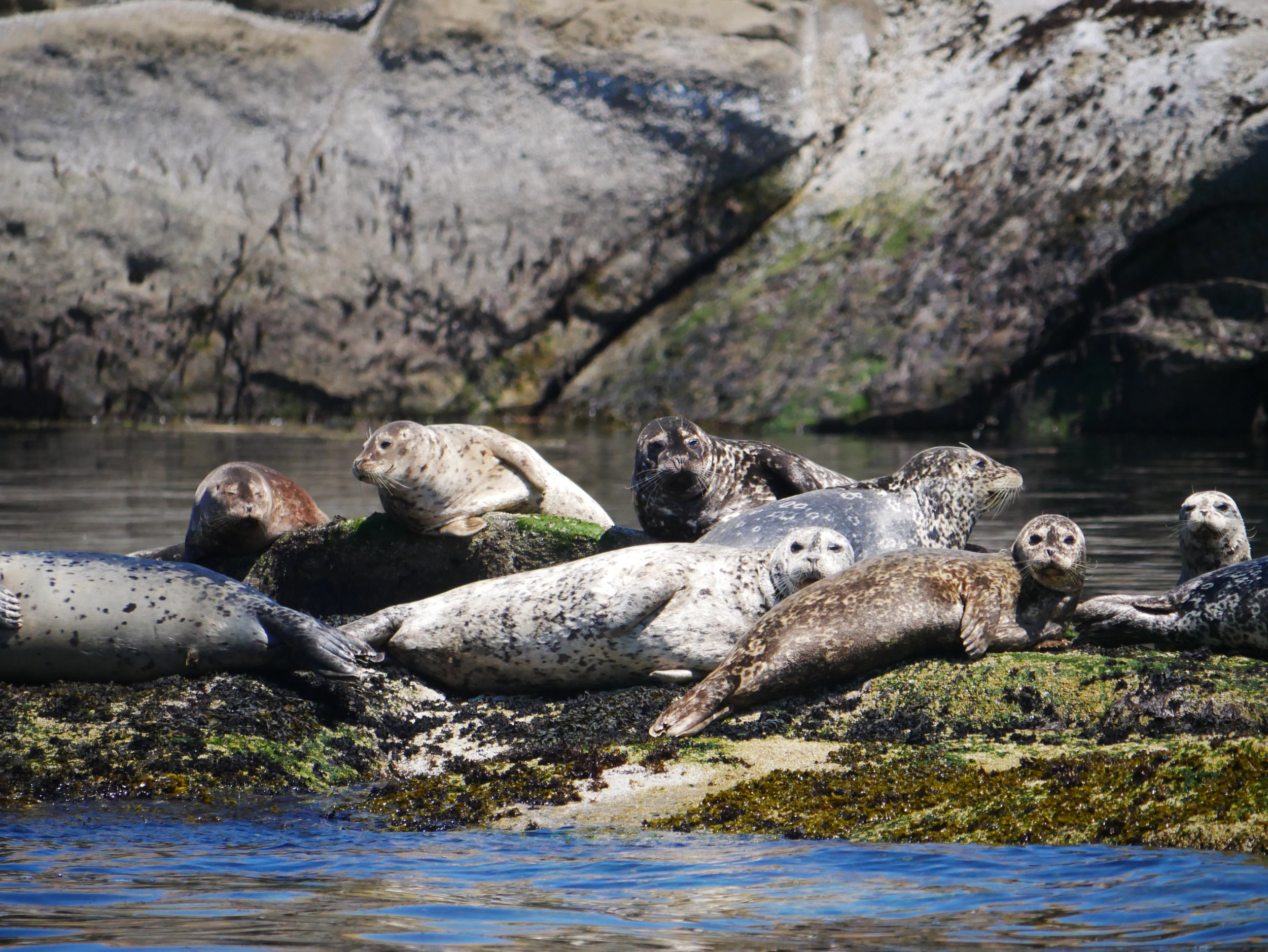 Sleepy, lazy seals. Photo by Mike Campbell.