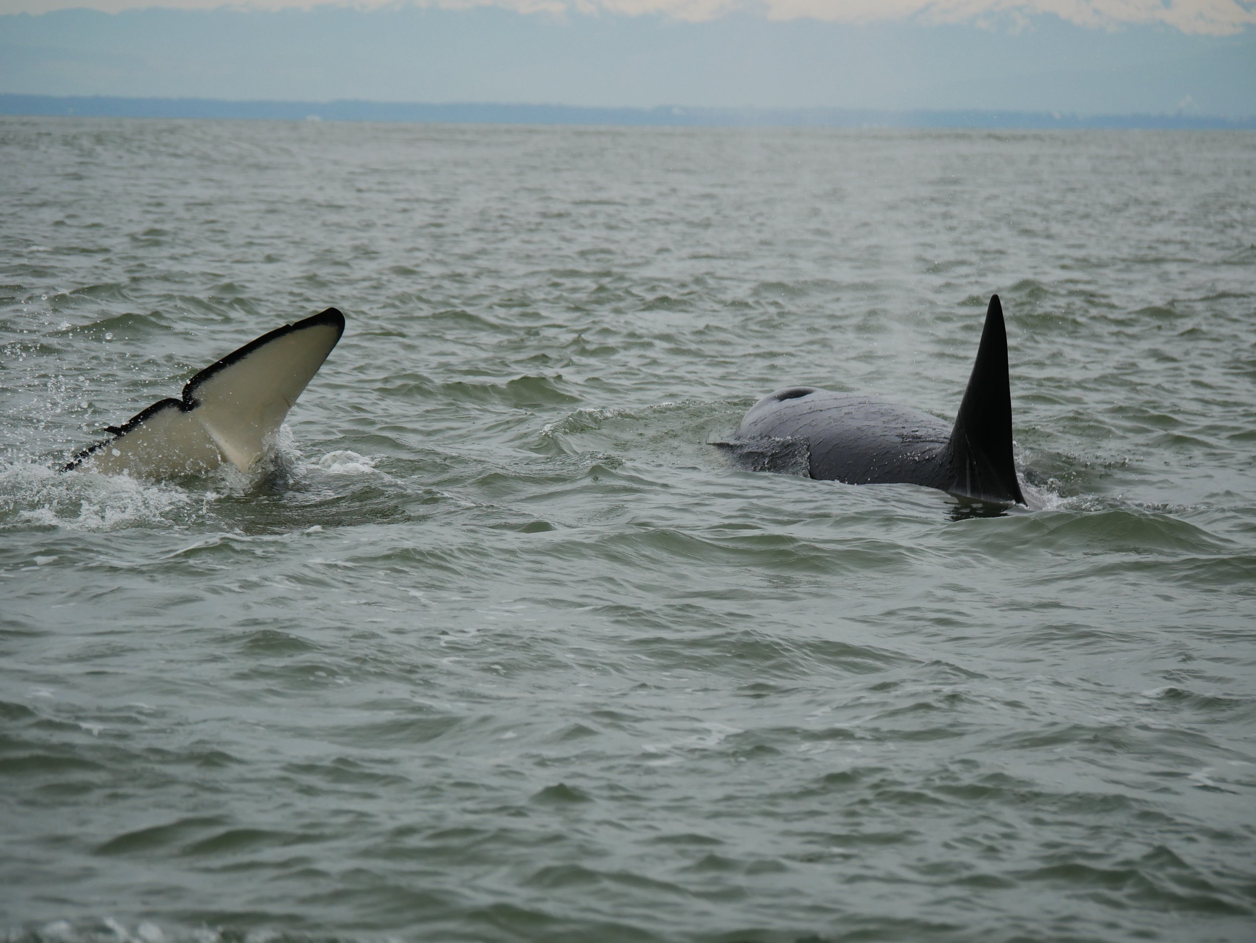 Celebratory tail slaps as the whales leave the boat behind. Photo by Alannah Vivani.