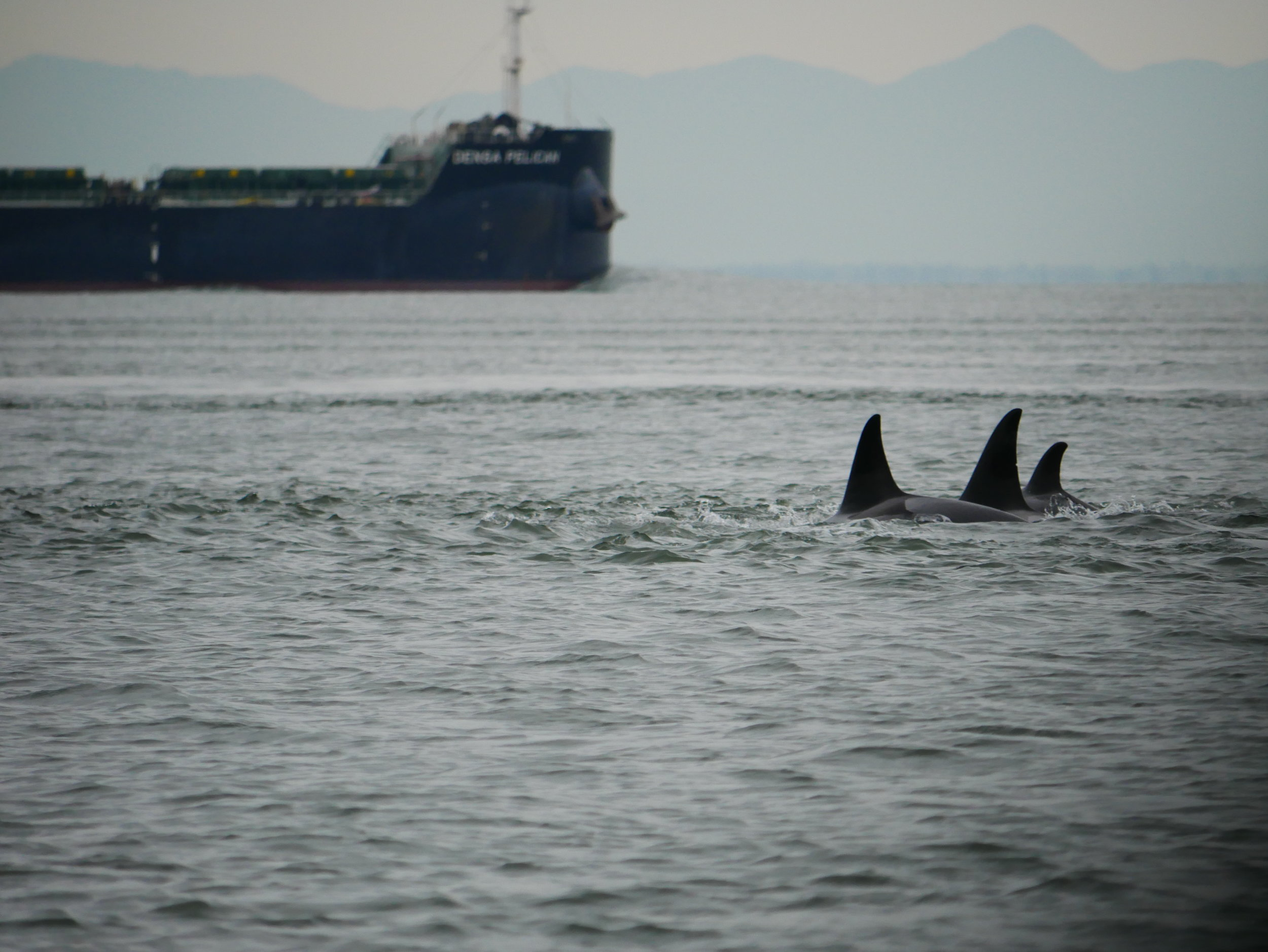 Three transient orca using their environment to their advantage. The rippling patches in the water is disturbance where two tides are meeting. Photo by Alanna Vivani.