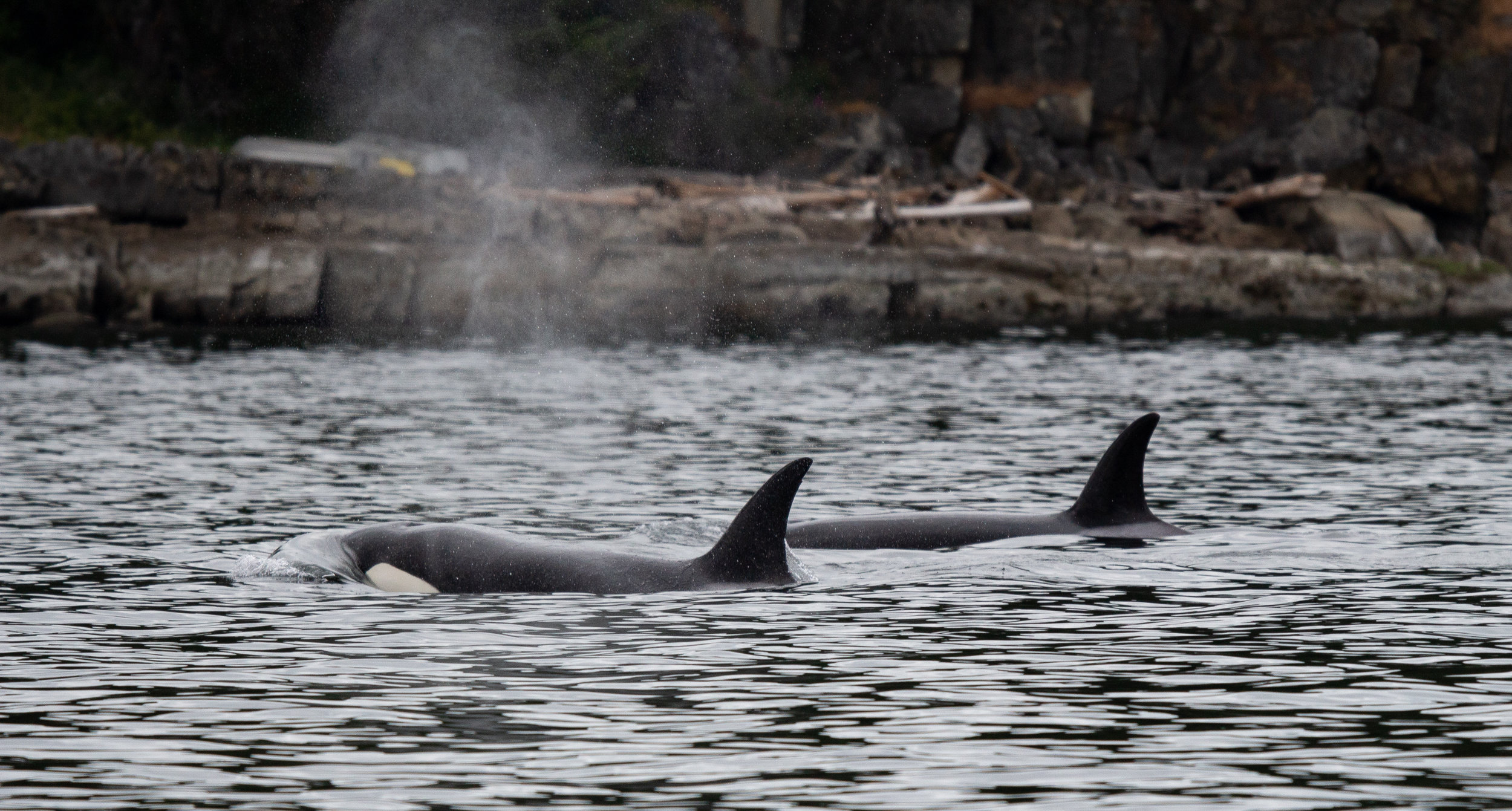 The whales surface after a long dive.Photo by Natalie Reichenbacher