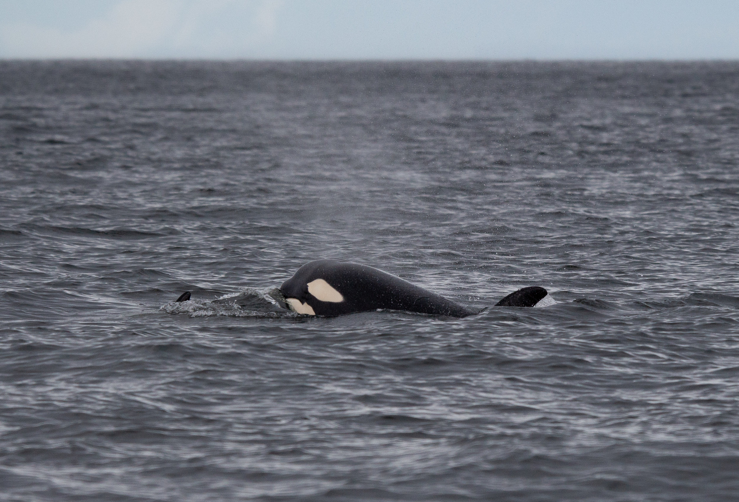 This curious whale popped it's head a bit higher and we were able to see the entire white eye patch and the white lower jaw! Photo by Natalie Reichenbacher