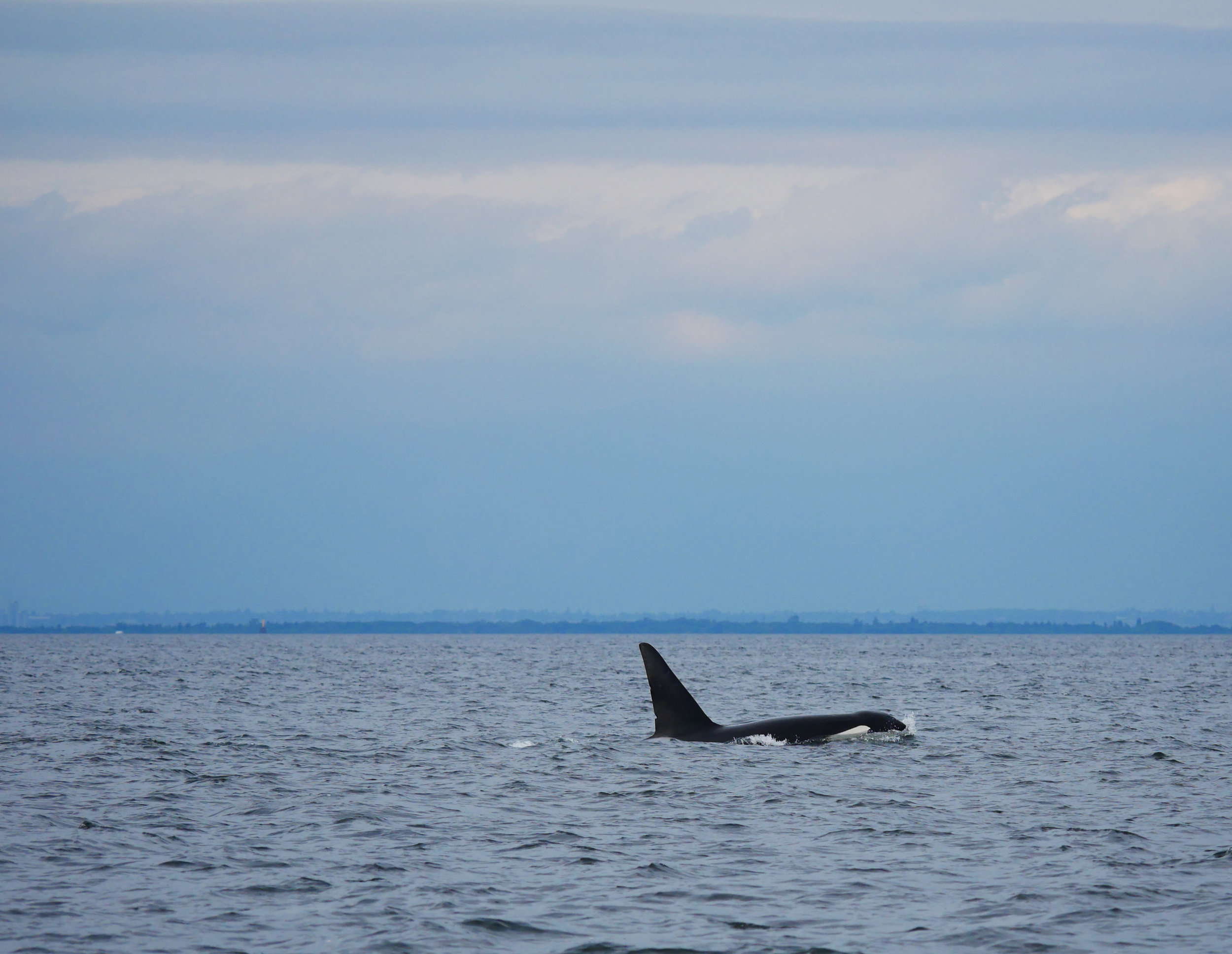 """Check out T137A """"Jack's"""" dorsal fin. See the two nicks? Photo by Jilann Lechner Campbell"""