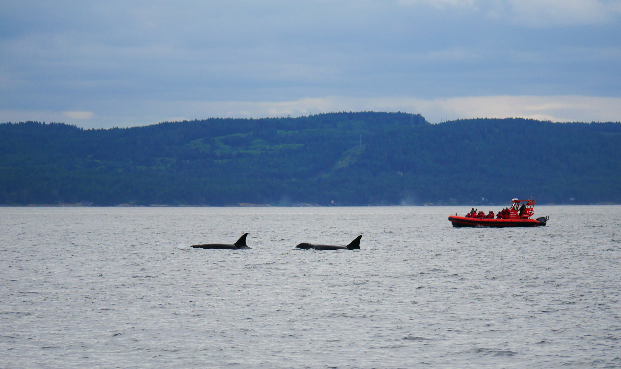 """Our open boat """"Cascadia"""" with her engines shut down as the pods of transient """"Bigg's) orca pass by. Photo by Jilann Lechner Campbell"""