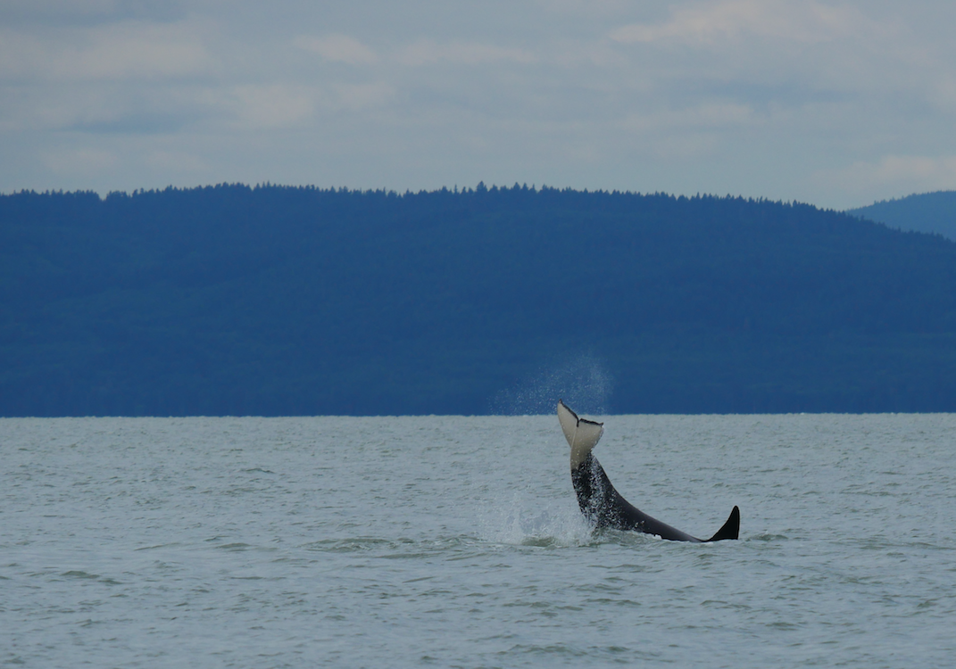 A transient (Bigg's) orca tail slapping in the Strait of Georgia. Photo by Val Watson
