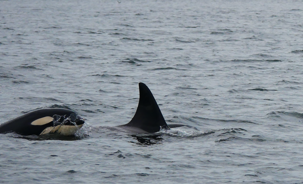 The white markings on young orcas like this one, are darker than the adults because their blubber is much thinner. Photo by Jilann Lechner Campbell