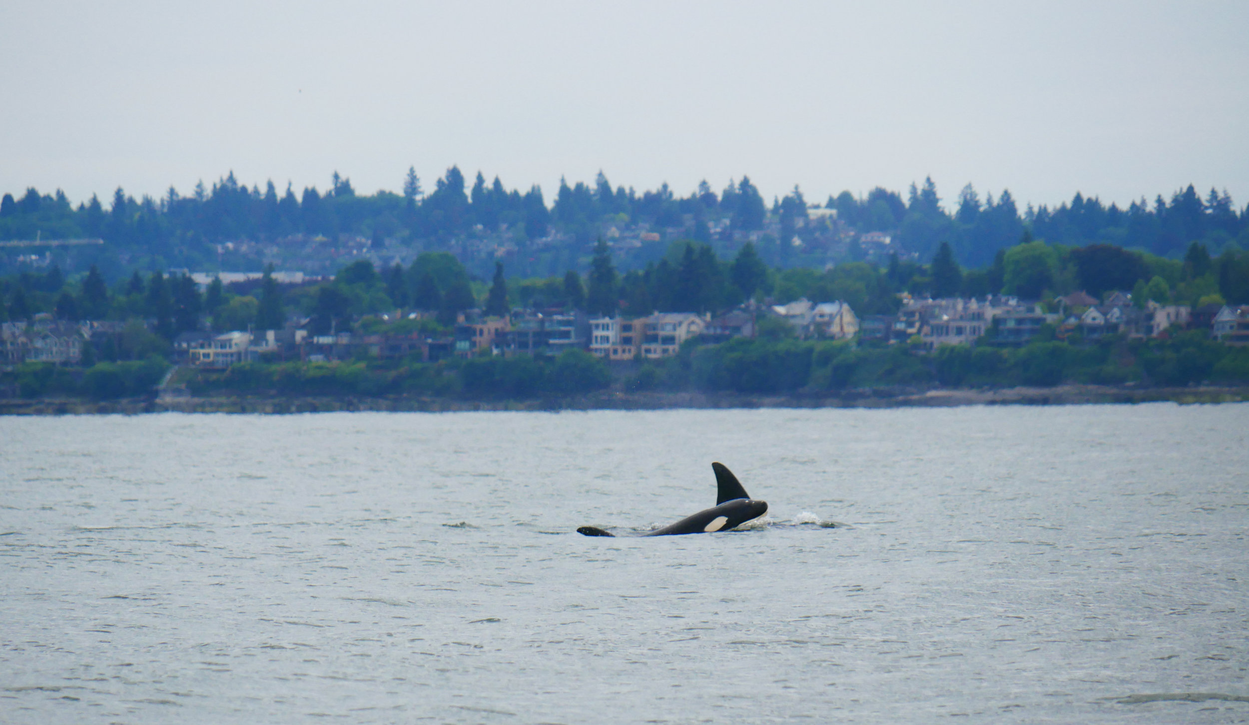 Two transient (Bigg's) orca surfacing in Vancouver waters. Photo by Alanna Vivani