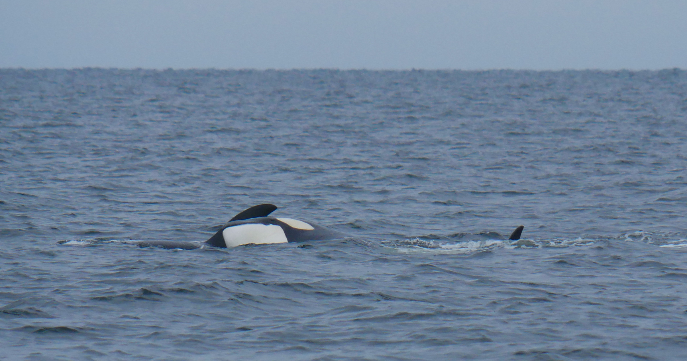 Orca are very tactile animals, and we often witness them nudging playfully against eachother. Photo by Val Watson