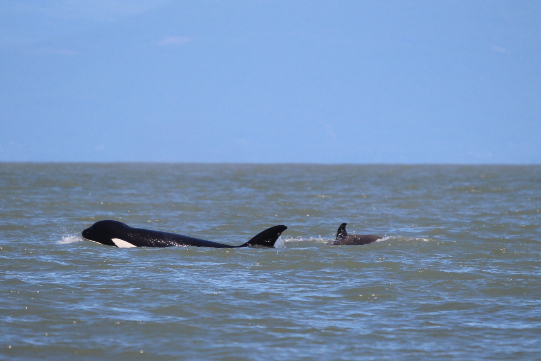 T65A, a very successful mother that we see frequently in the Salish Sea.Photo by Natalie Reichenbacher