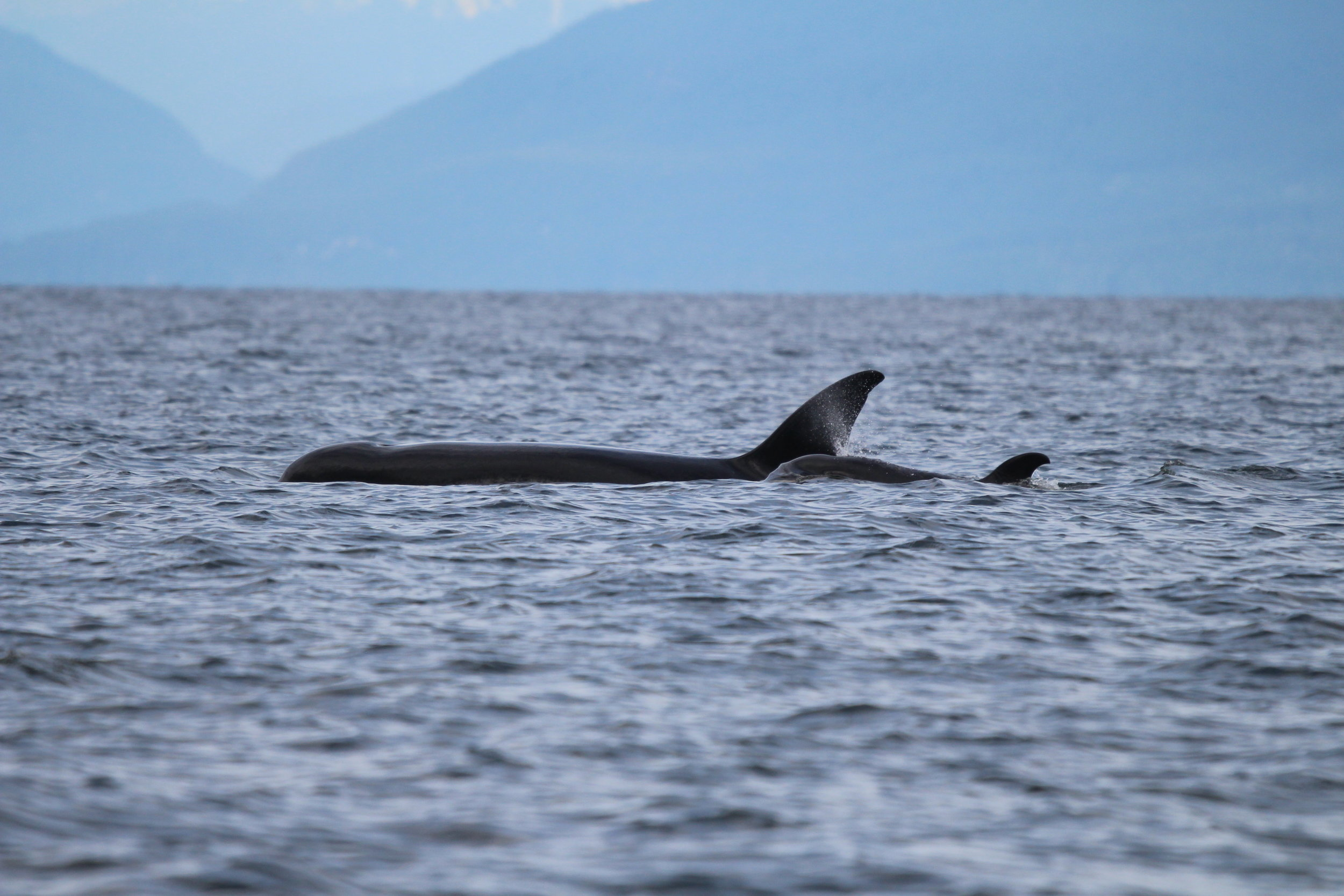 Mother and calf surface together on the afternoon tour.Photo by Natalie Reichenbacher