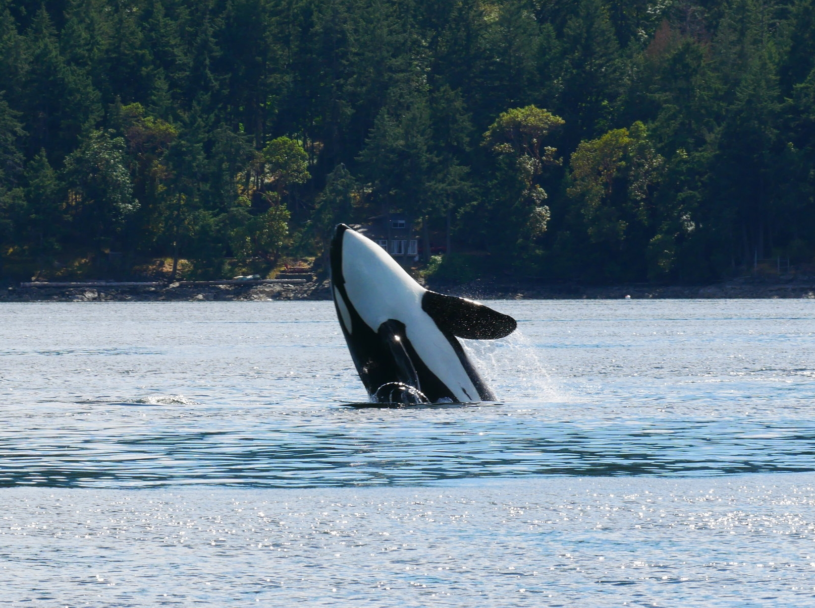 Breach! A breach is when a orca jumps out of the water and lands on its side. They often occur when the whales are excited like during or after a hunt! Photo by Val Watson
