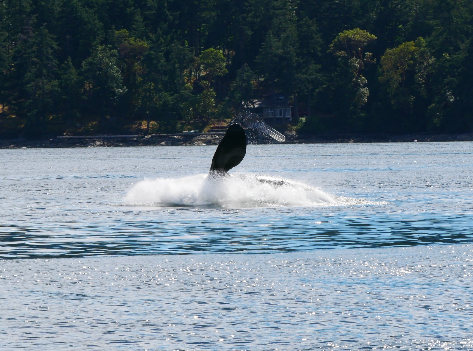 Big splash as the whale hits the water! Also a good look at the size of the pectoral fin. Photo by Val Watson.