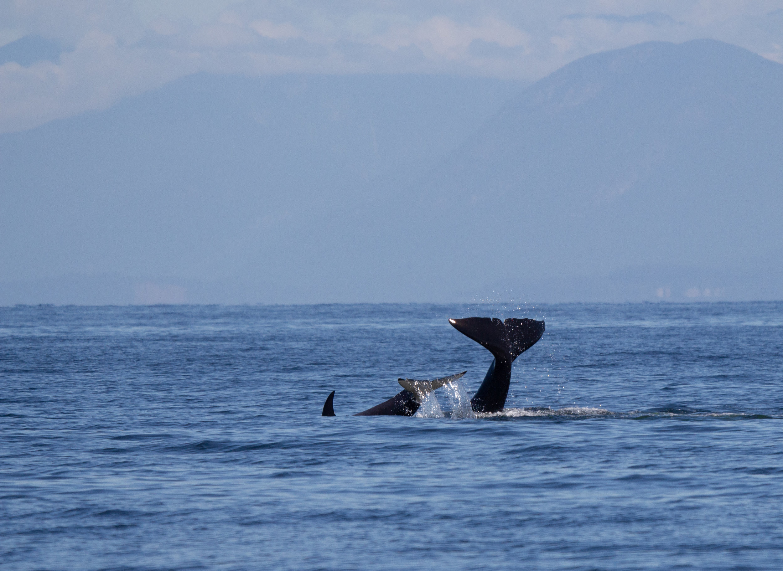 Fluke waves from the orcas. Notice the newborn calf joining in on the fun! Photo by Natalie Reichenbacher.
