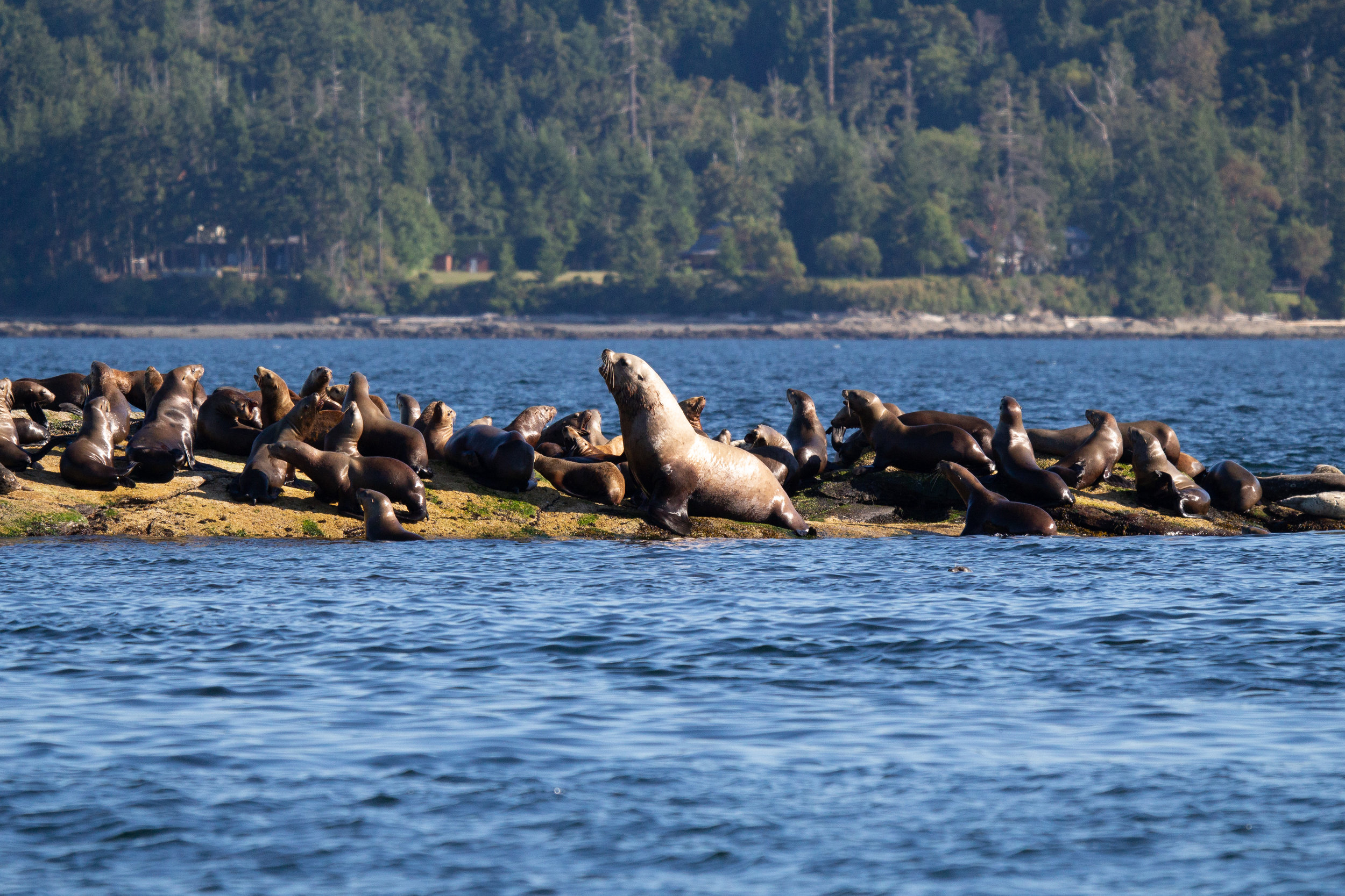 Steller sea lions hauled out on the rocks. Look how big that male is compared to all the others surrounding him! Photo by Natalie Reichenbacher