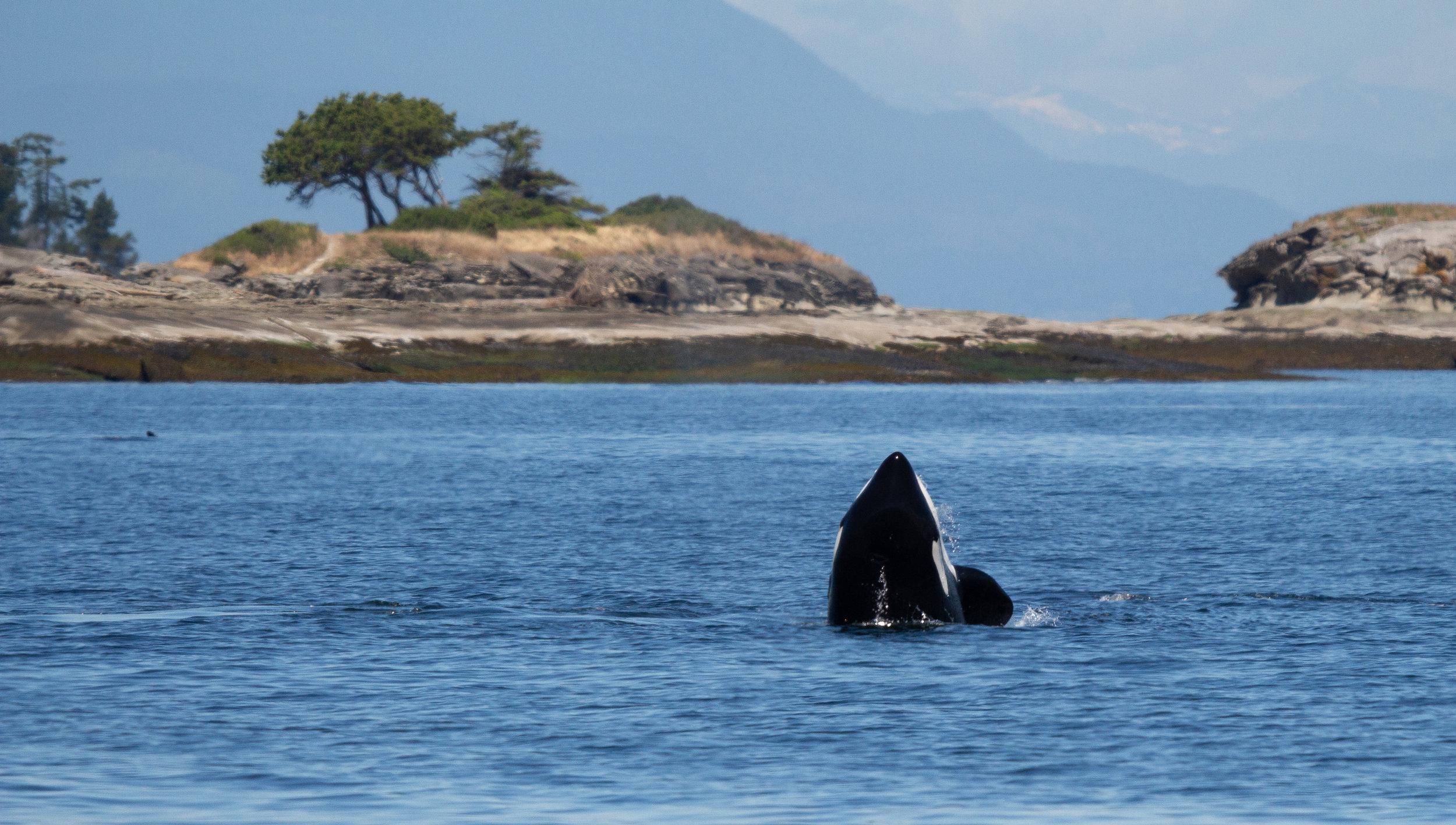 Orca spy hopping! Photo by Natalie Reichenbacher