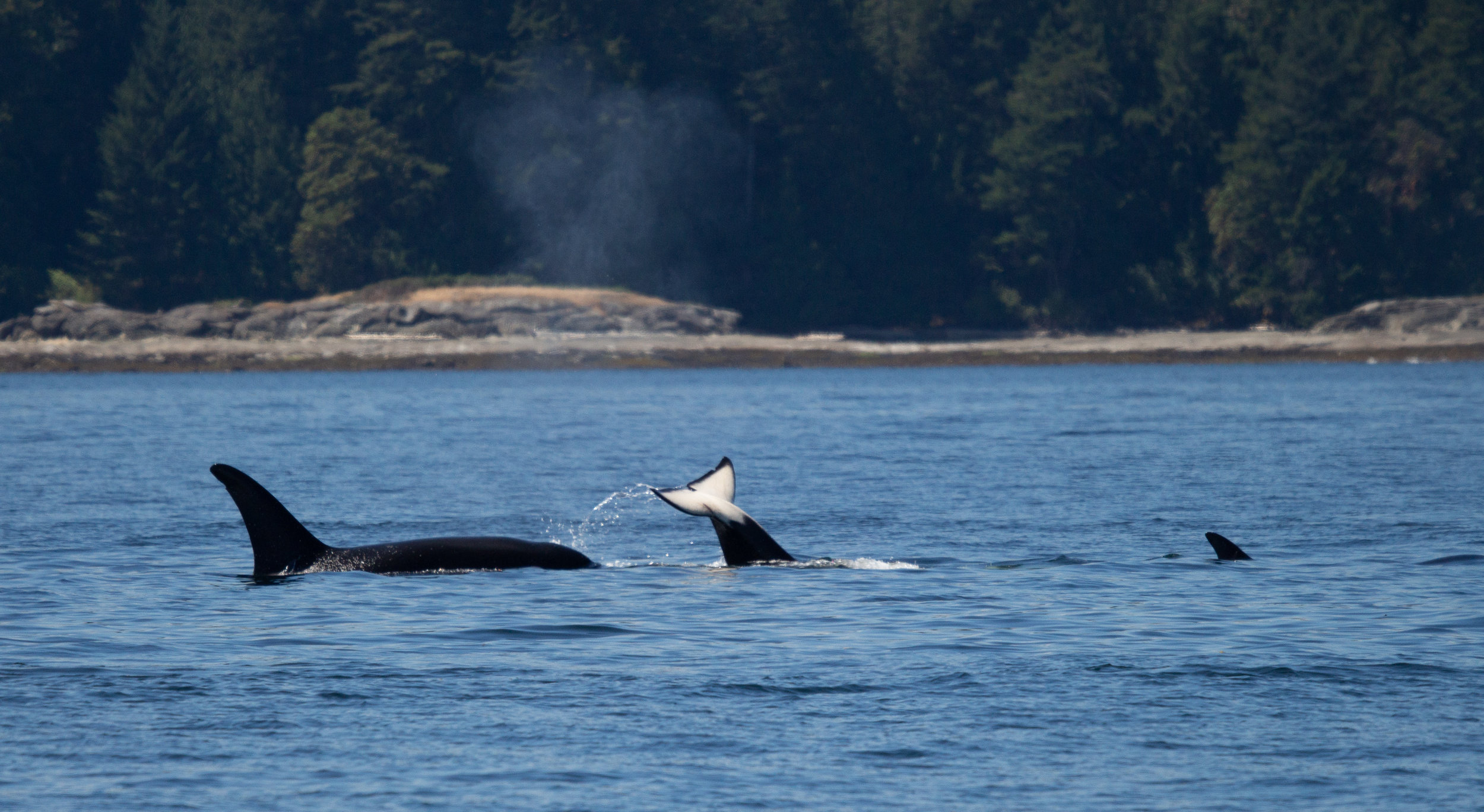 A little fluke wave in between some travelling killer whales! Photo by Natalie Reichenbacher