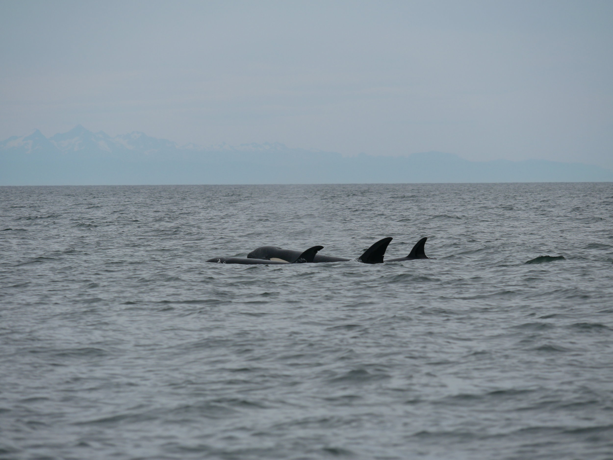 So many whales! Photo by Alanna Vivani
