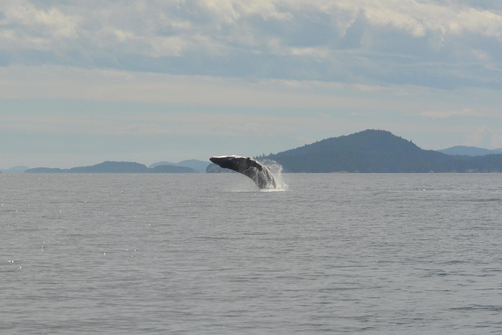 Humpback breaching! Photo by Val Watson.