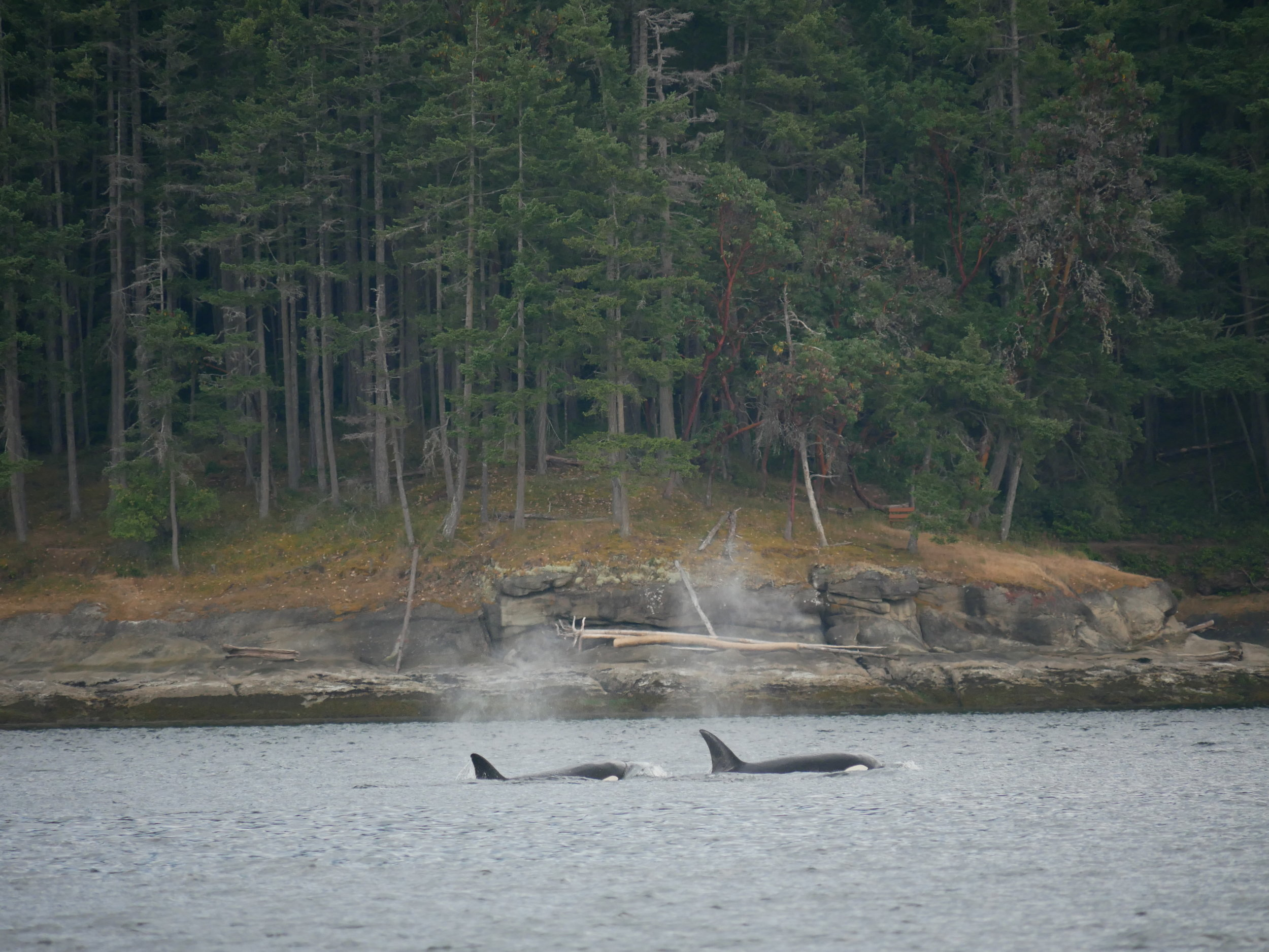 Beautiful west coast backdrop for some majestic killer whales. Photo by Val Watson