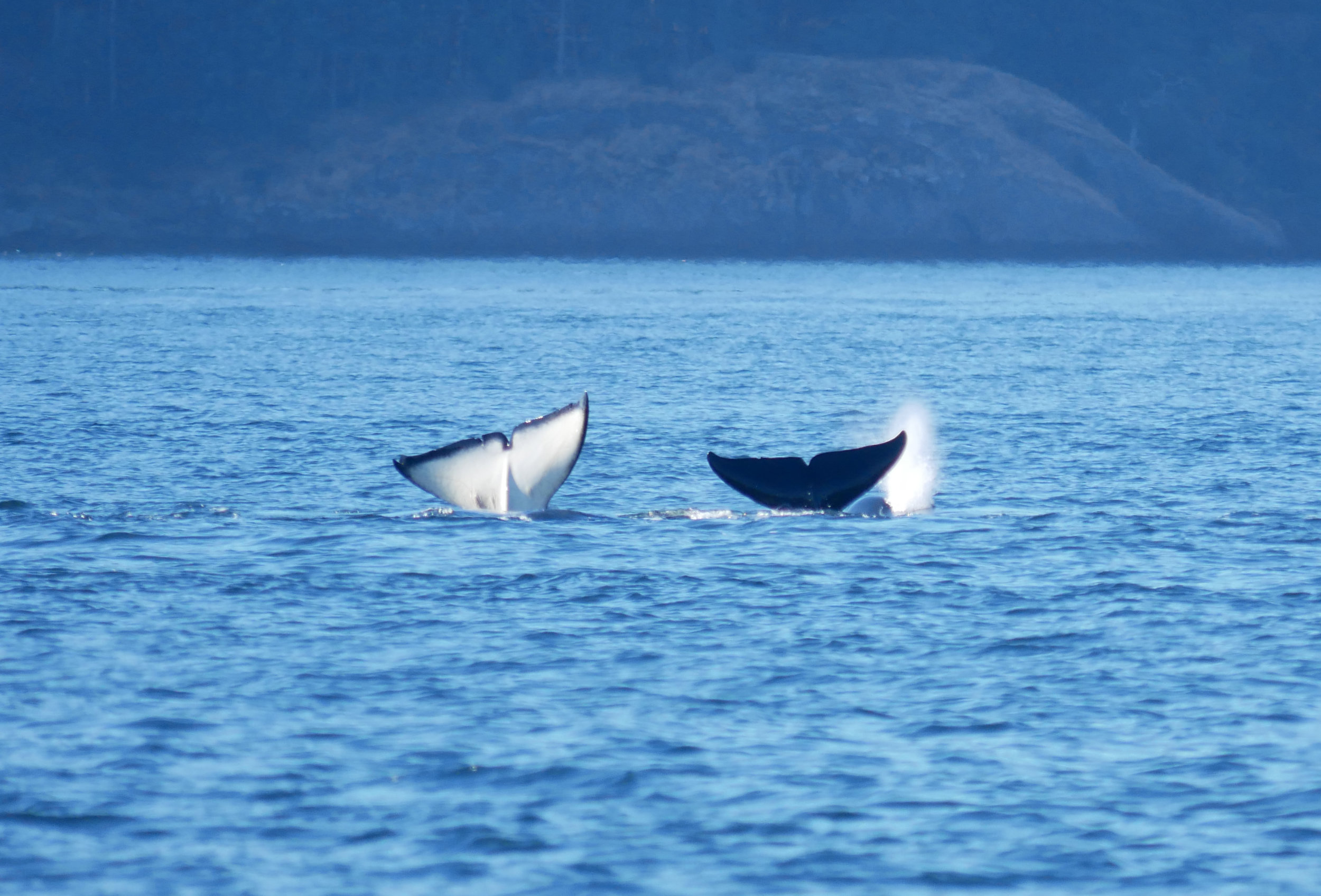 Two orca doing synchronized fluke waves. Photo by Alanna Vivani.
