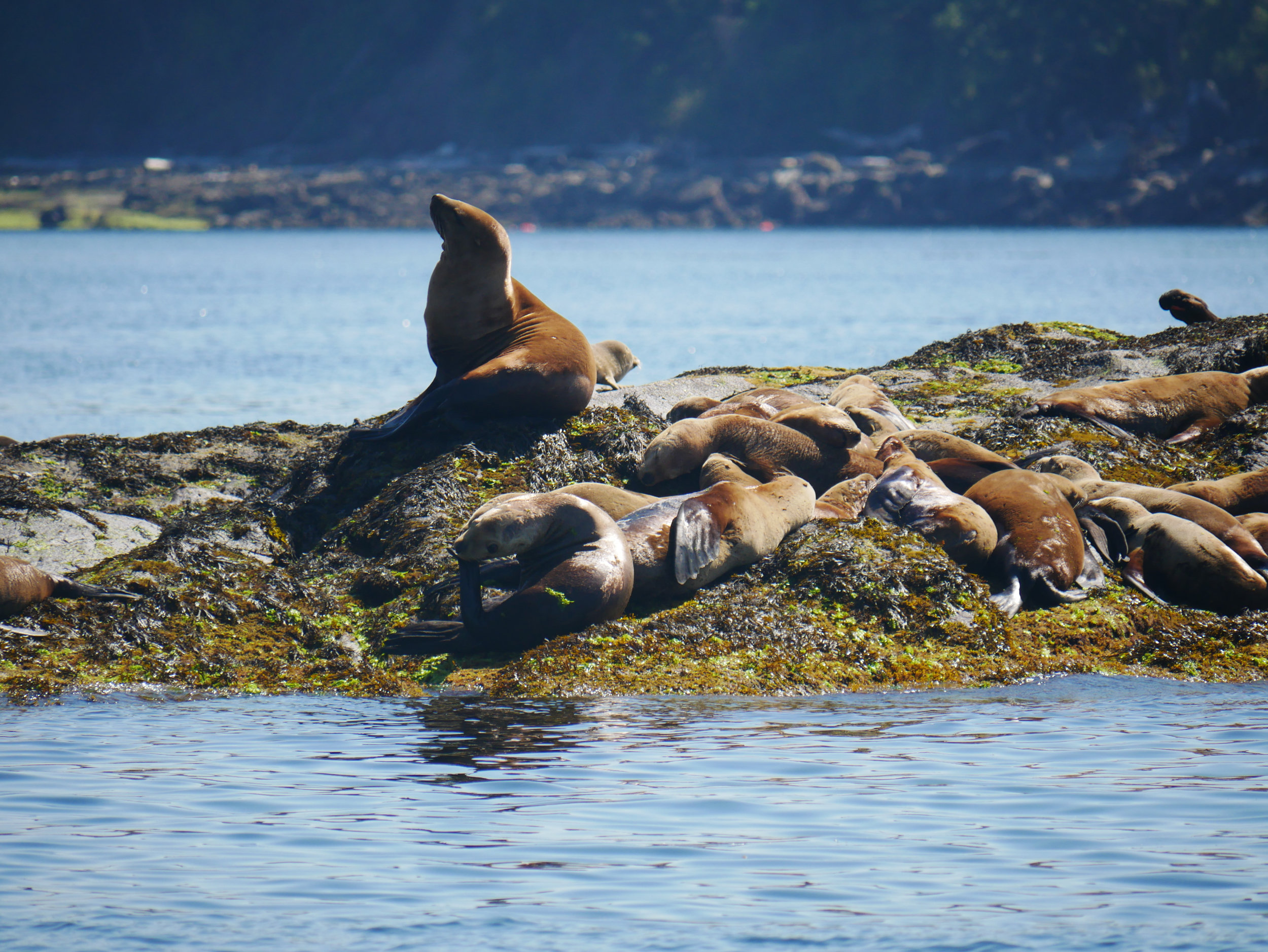 Steller Sea Lions hauled out on the rocks at Entrance Island. Photo by Val Watson.