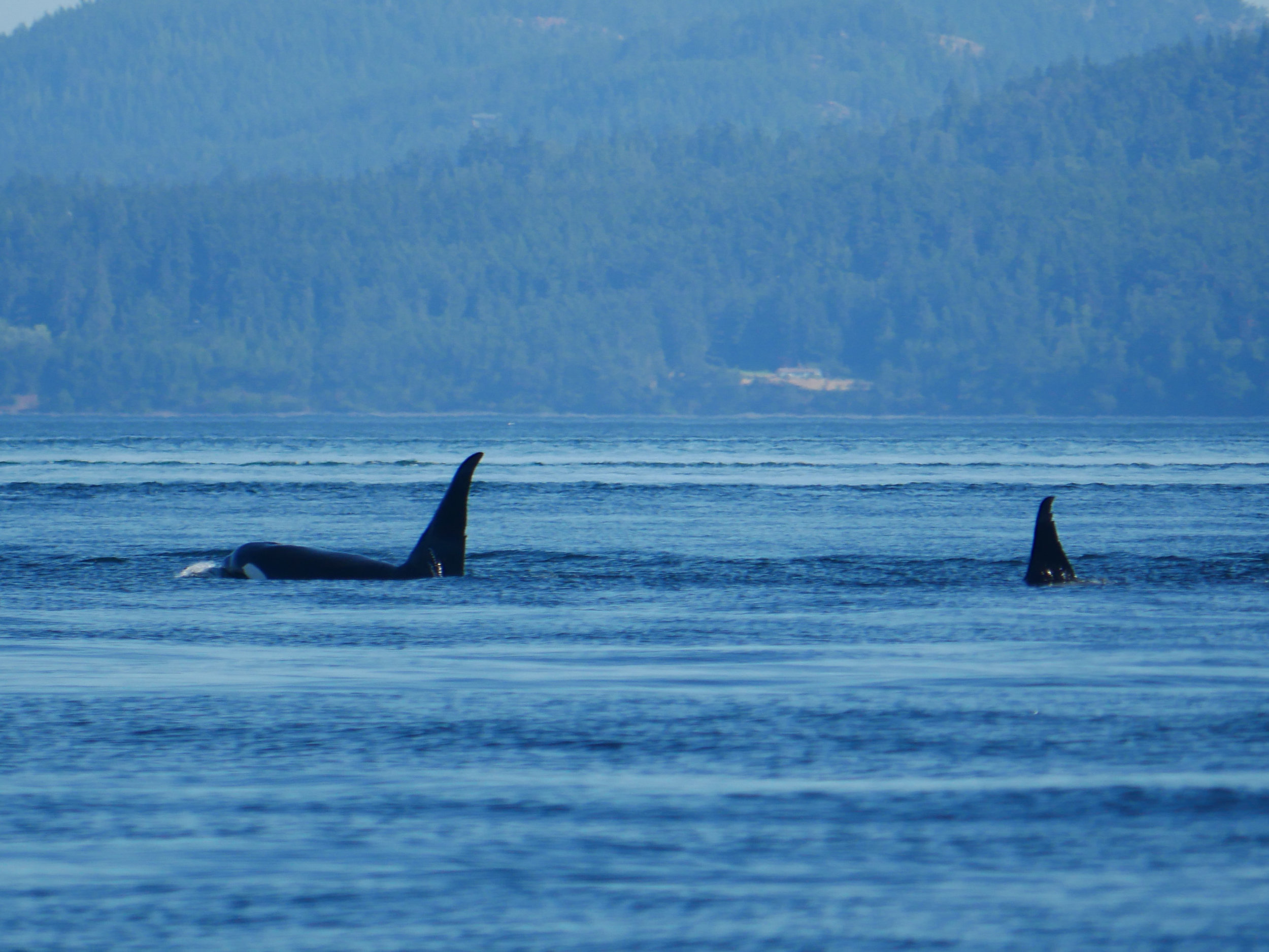 T46E (left) and T46D (right) surfacing off of Saturna Island. Their large dorsal fins and evident nicks make them easy to ID. Photo by Alanna Vivani