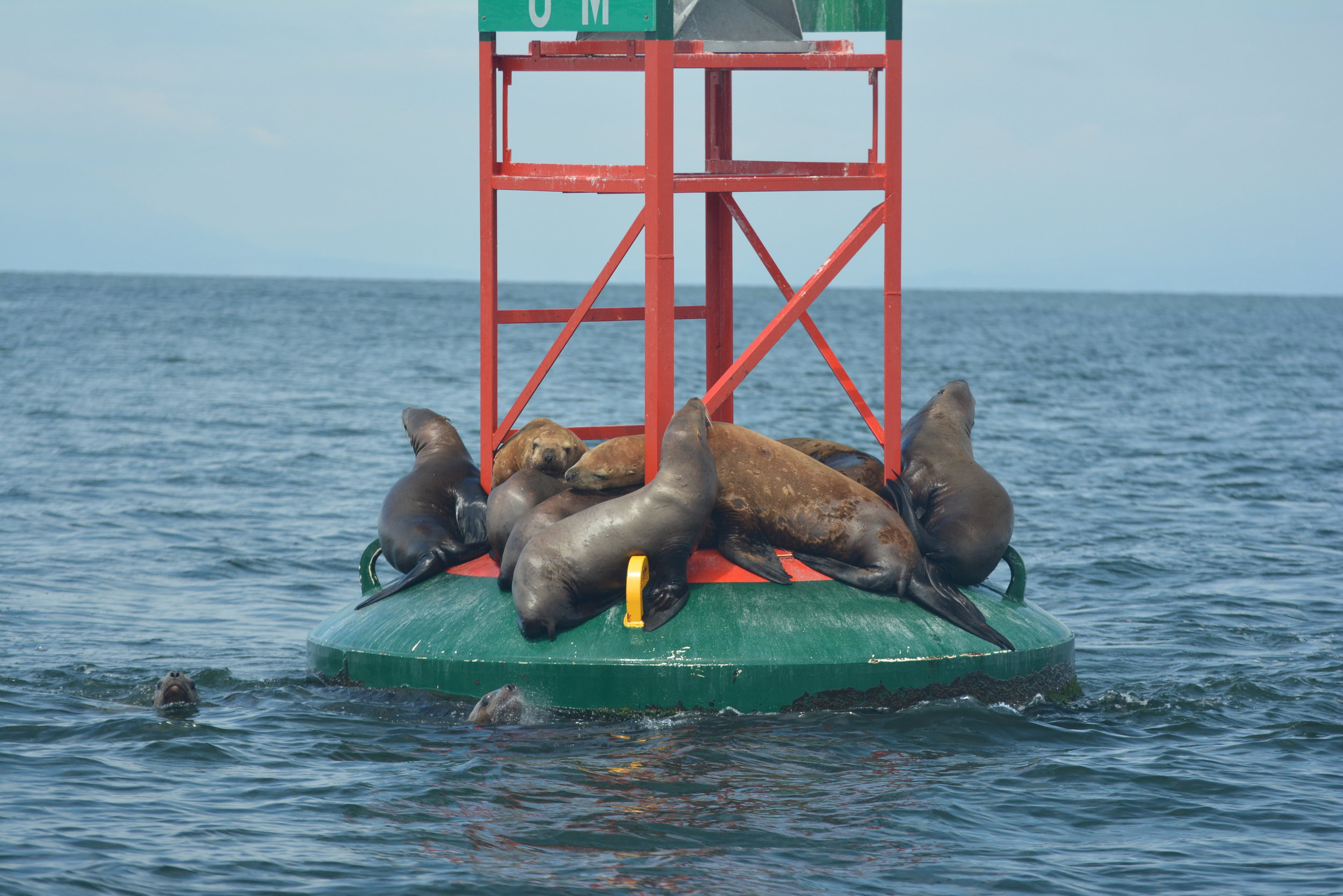 Some Steller Sea Lions hanging out on a buoy at Gabriola Reef. Photo by Alanna Vivani.