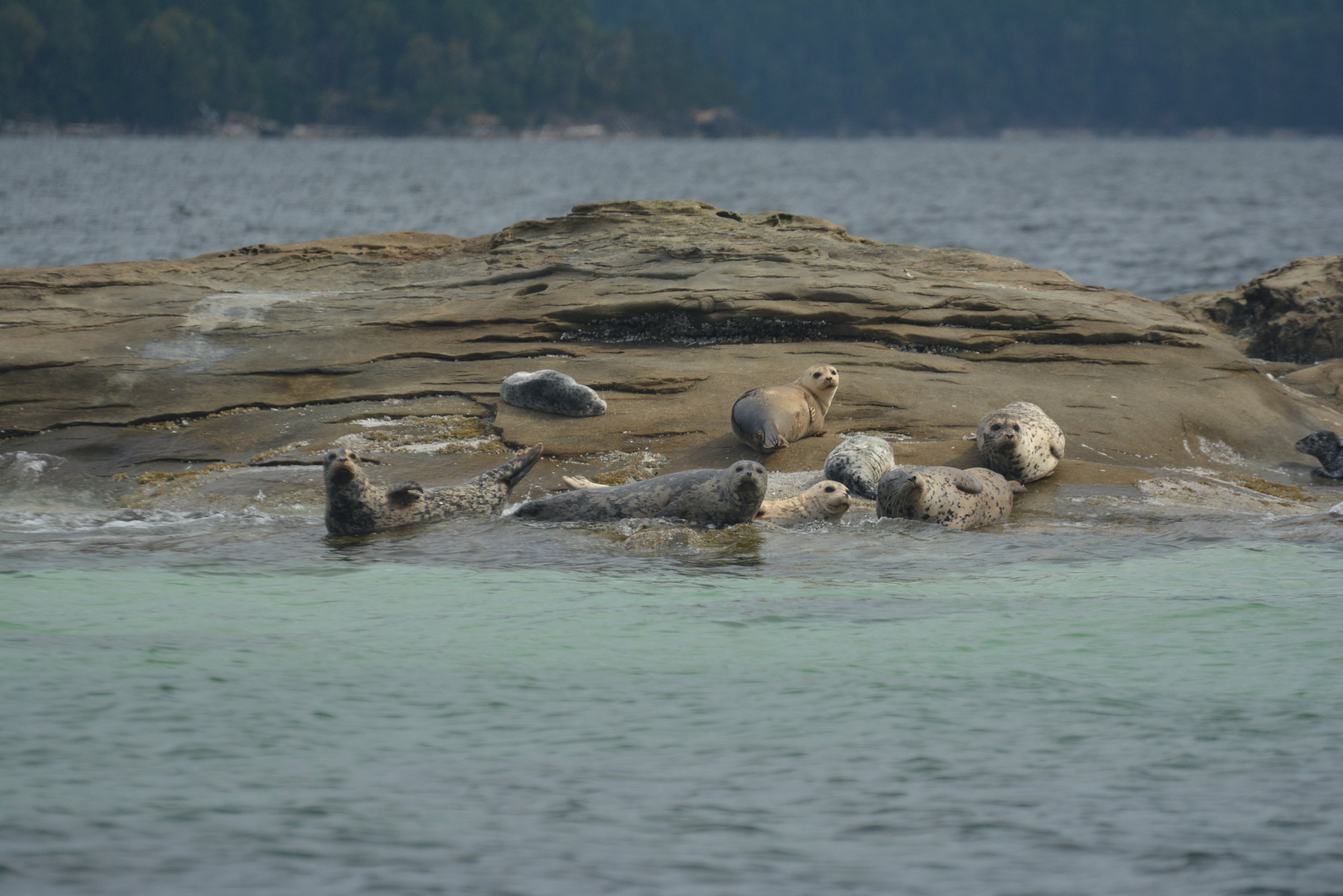 Harbour seals hauled out on the rocks. Look at how cute they are! Photo by Alanna Vivani