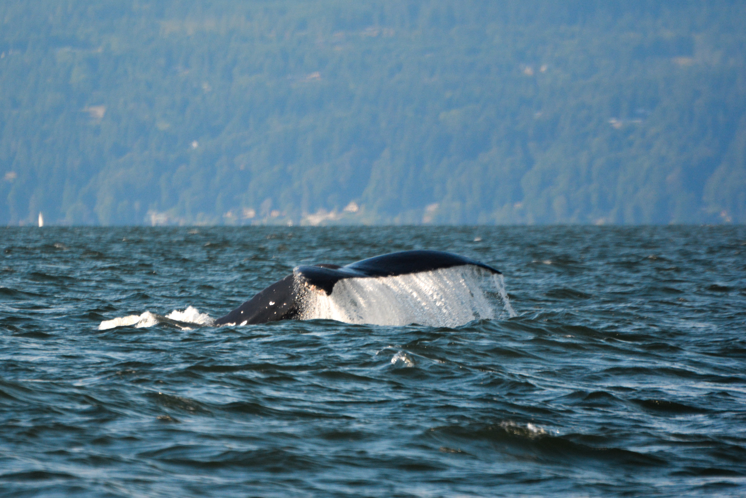 Yogi the humpback with his huge fluke coming up out of the water. Photo by Alanna Vivani