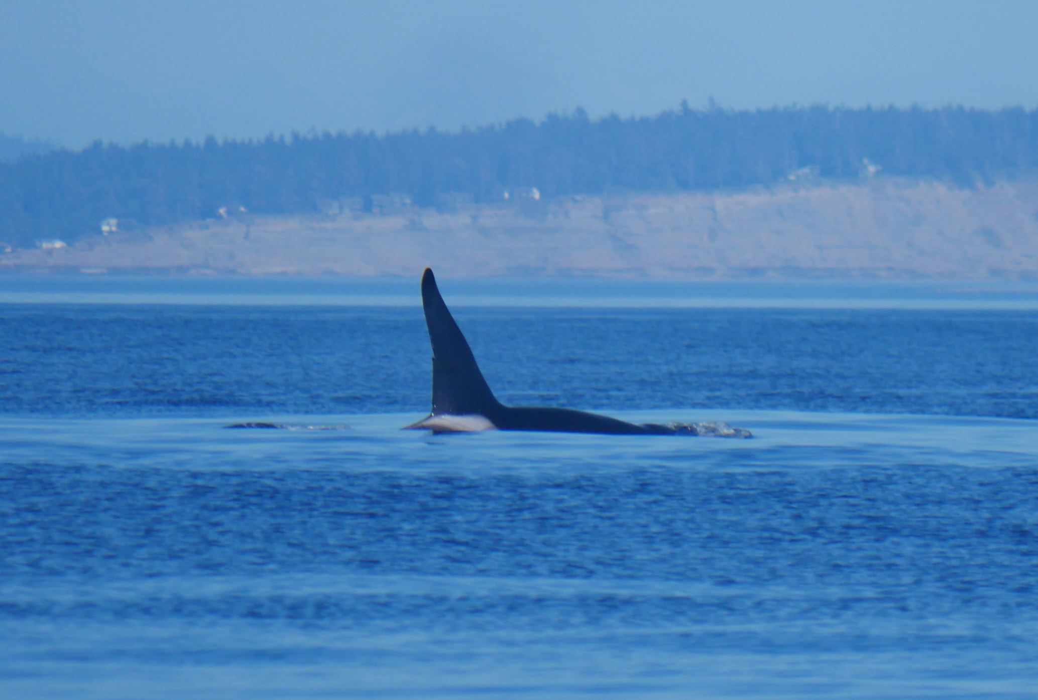 T46E has a distinctive tall fin with a nick 2/3 of way down. Photo by Val Watson