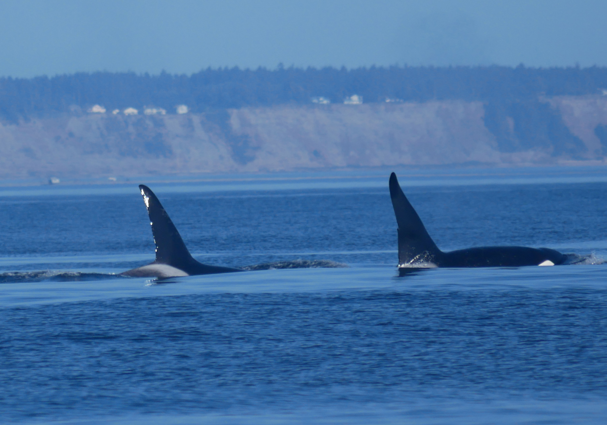 Two mature males T137A and T46E travel side by side. Photo by Val Watson