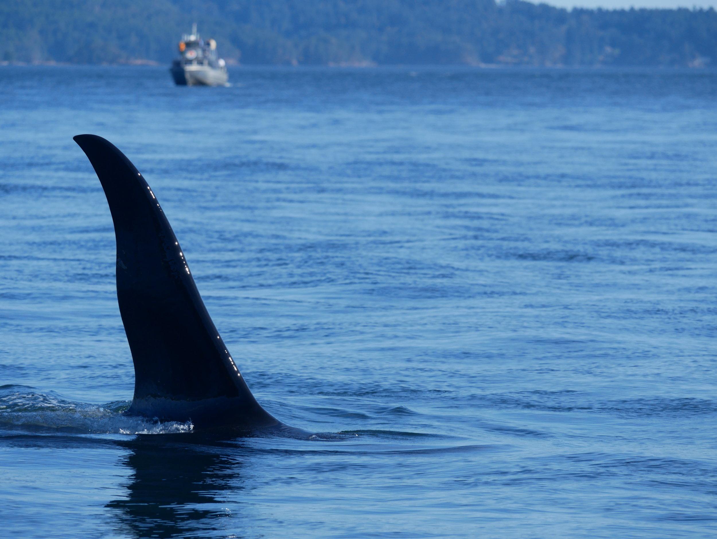 A six-foot tall dorsal fin slices through the surface. Photo by Alanna Vivani