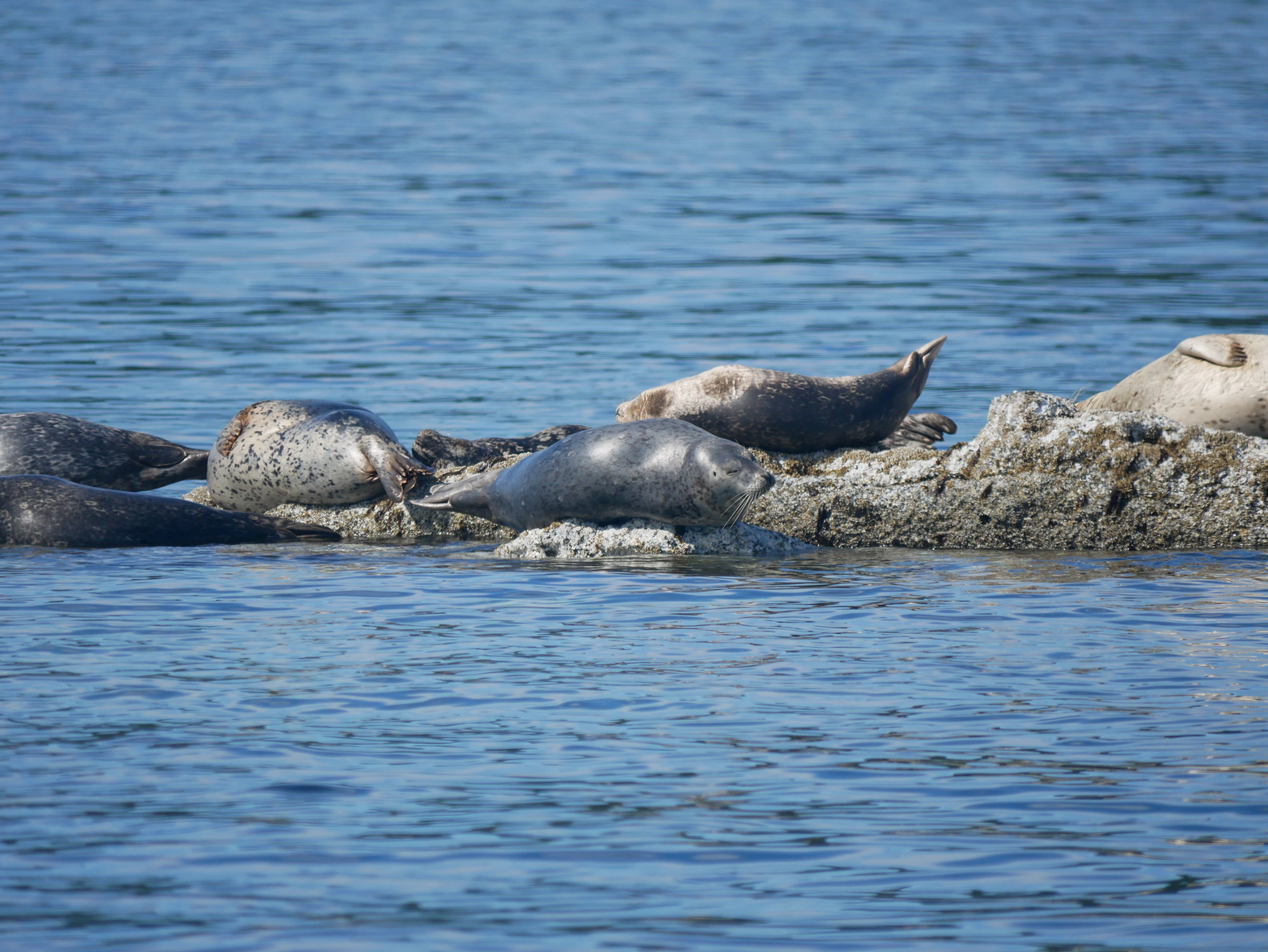 Harbour seals performing a balancing act on their rocky haulout! Photo by Alanna Vivani