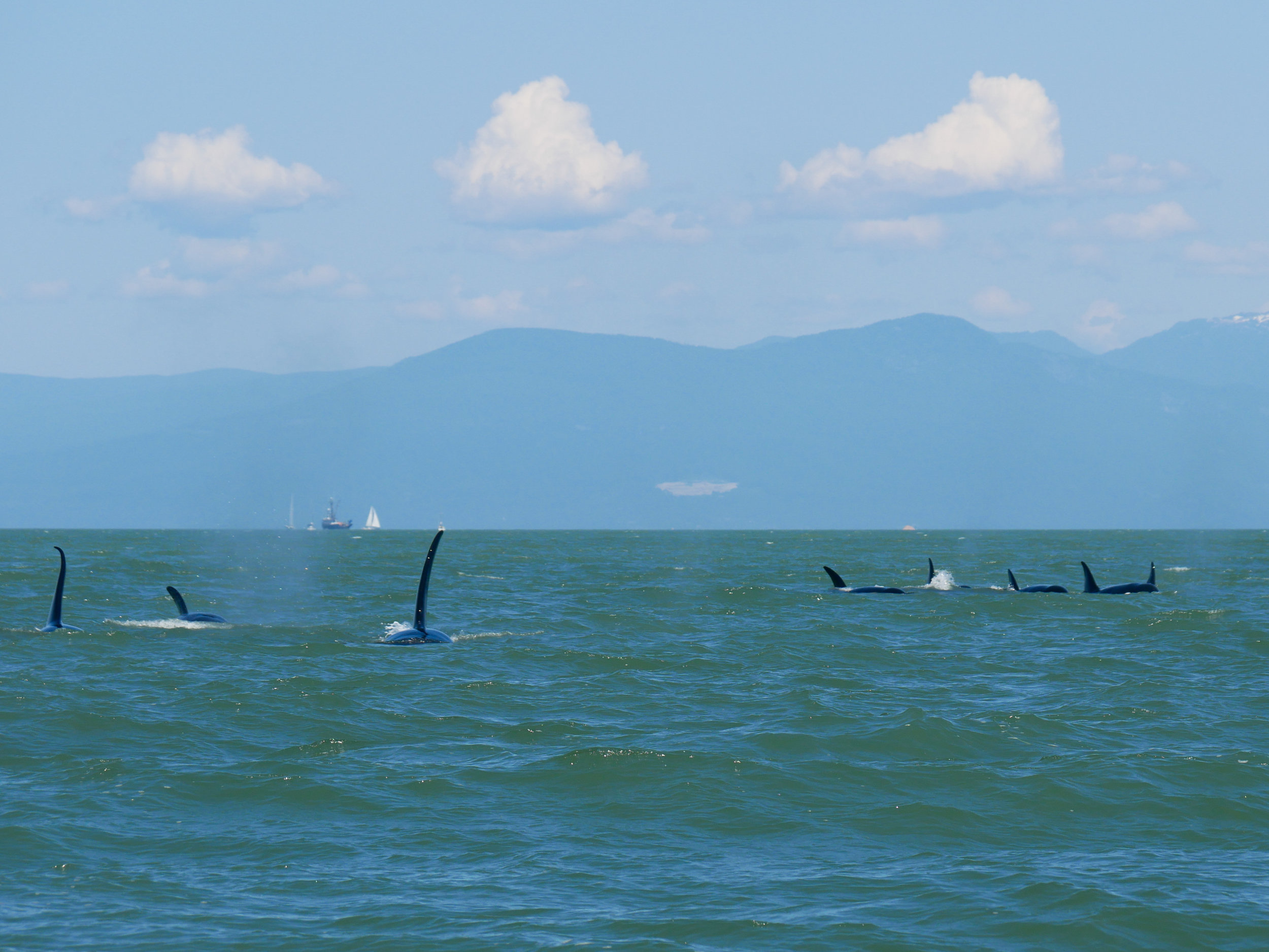 Whale soup! So many orcas surfacing at the same time. Notice the large males on the left side with the tall dorsal fins. Photo by Alanna Vivani.