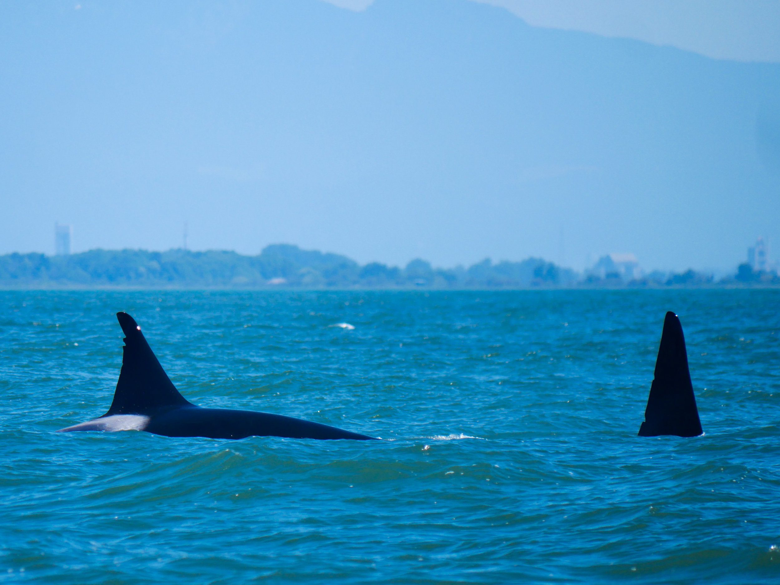 T46D (left) and T46 (right) surfacing together. T46D (18 years old, male) is the offspring of T46 (~54 years old). Photo by Alanna Vivani.